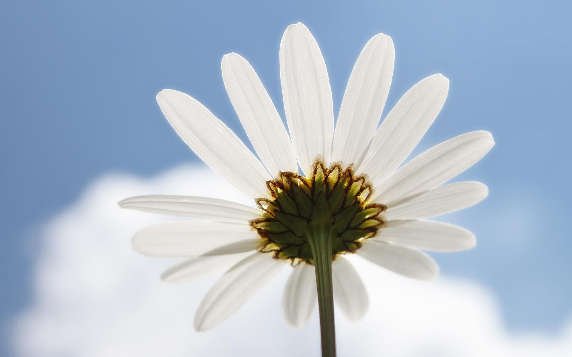 hinh anh hoa cuc dep 12