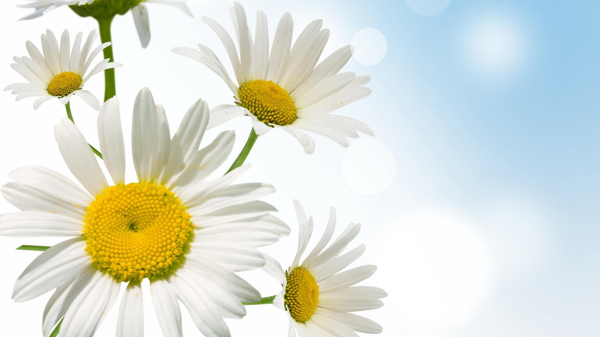 hinh anh hoa cuc dep 13
