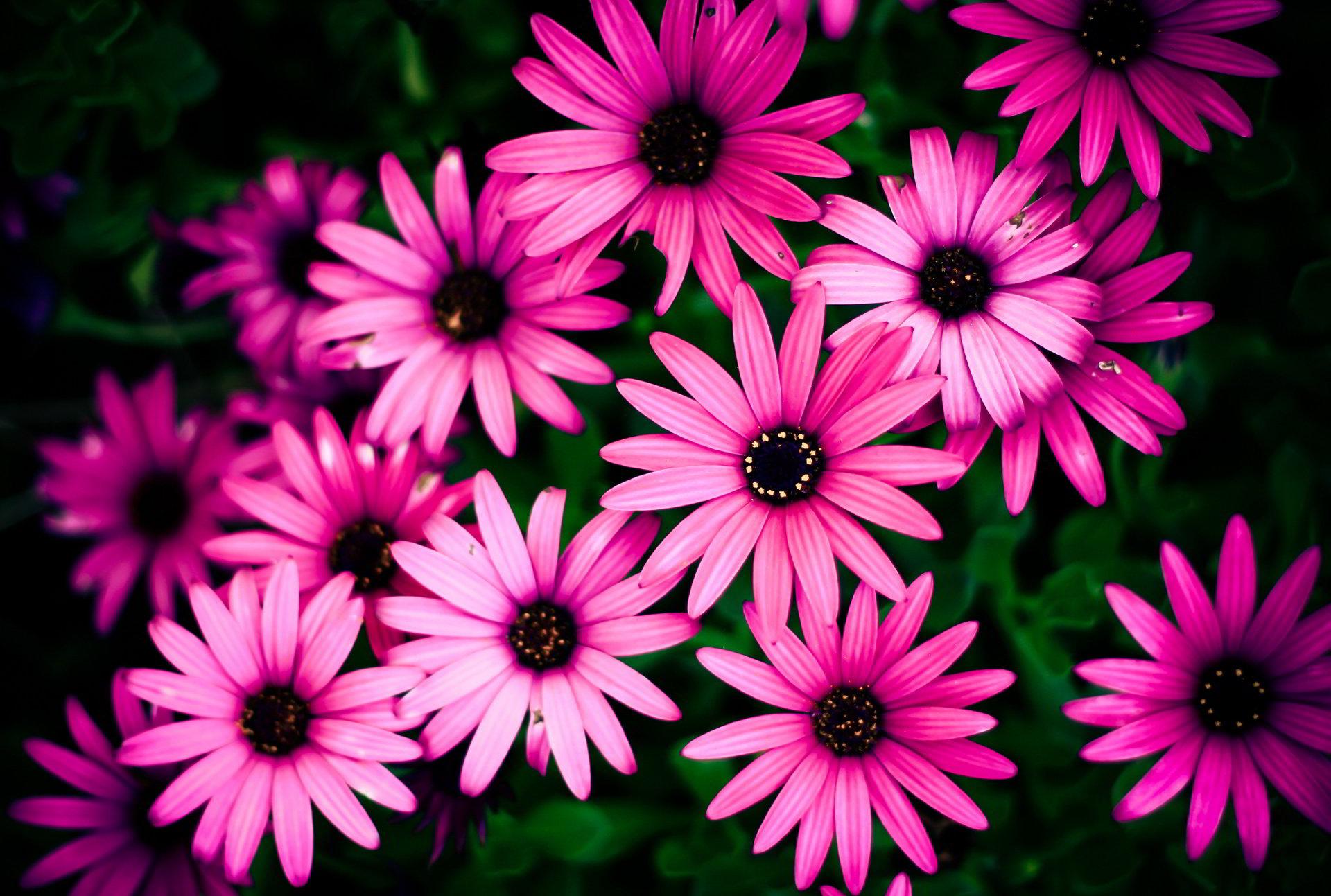 hinh anh hoa cuc dep 14