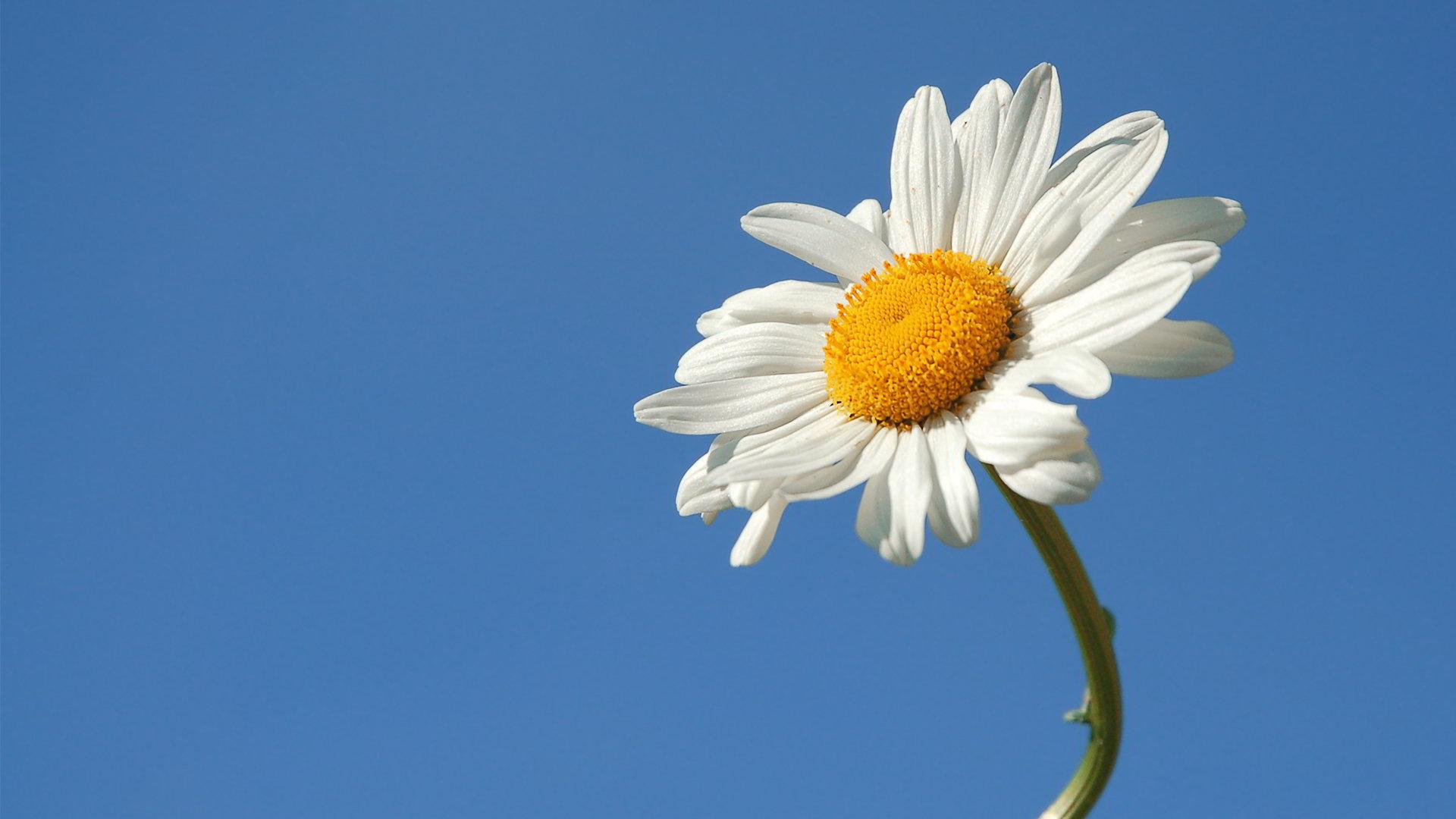 hinh anh hoa cuc dep 16