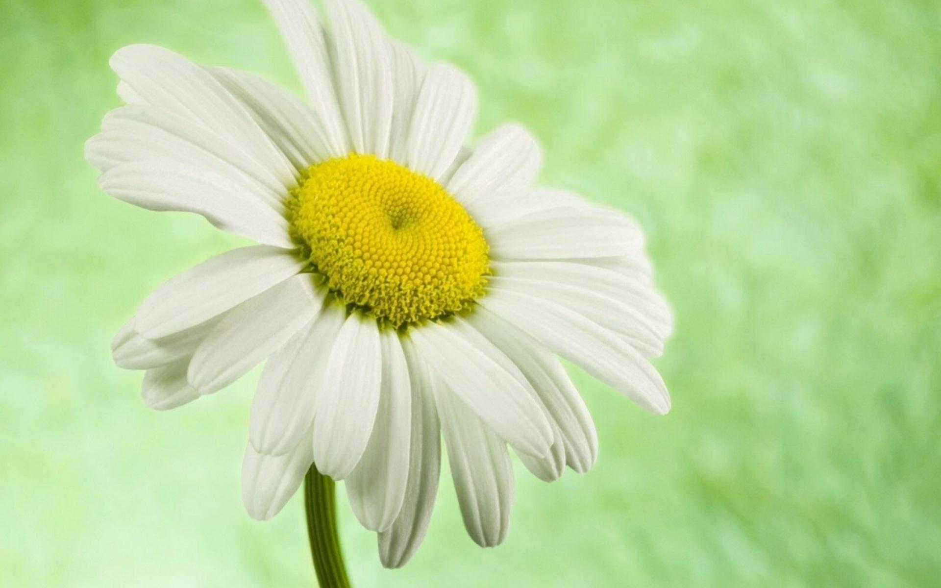 hinh anh hoa cuc dep 17