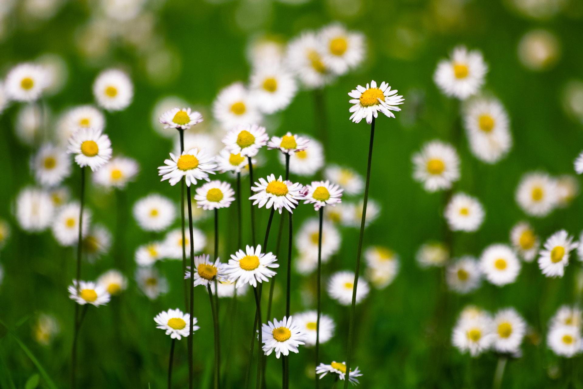 hinh anh hoa cuc dep 18