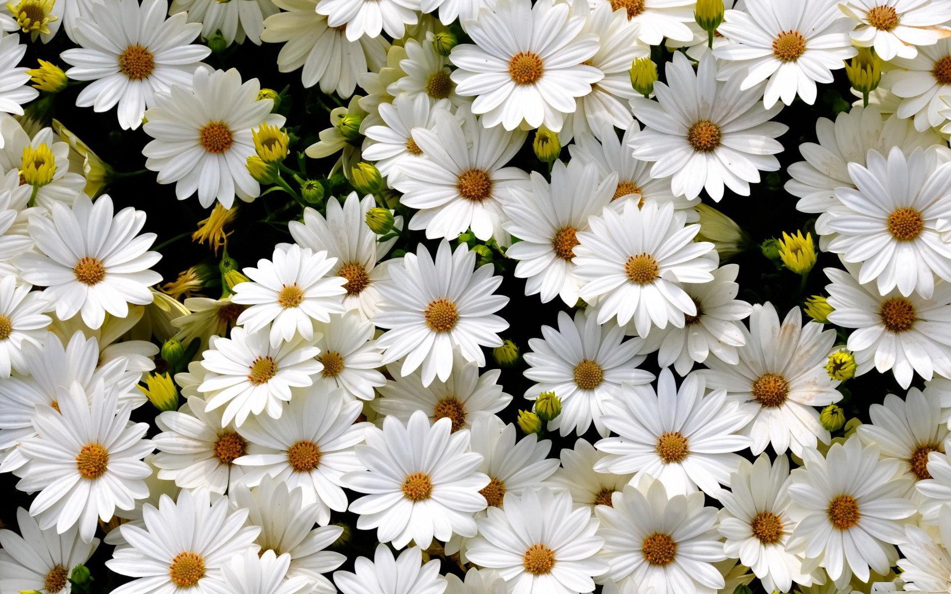 hinh anh hoa cuc dep 19
