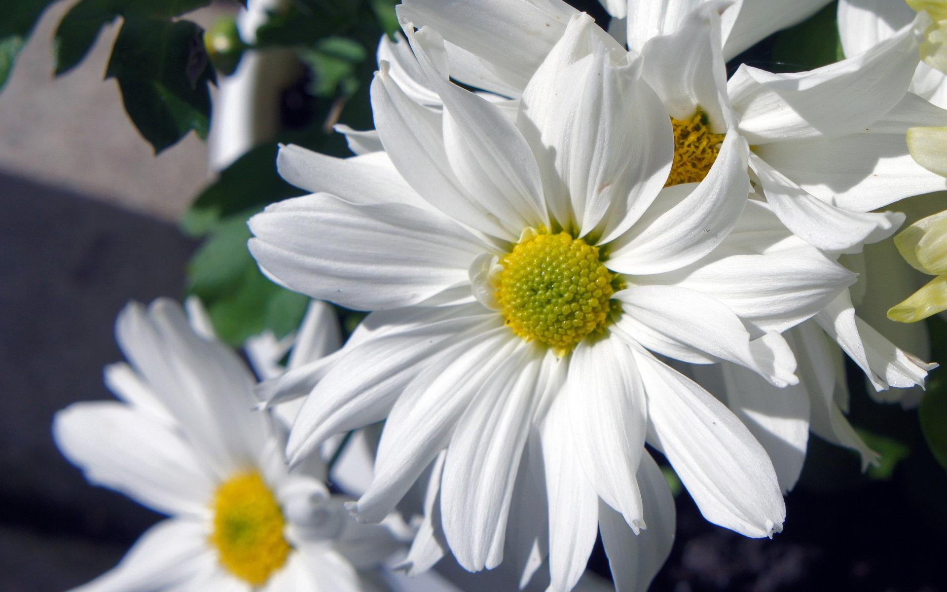hinh anh hoa cuc dep 20