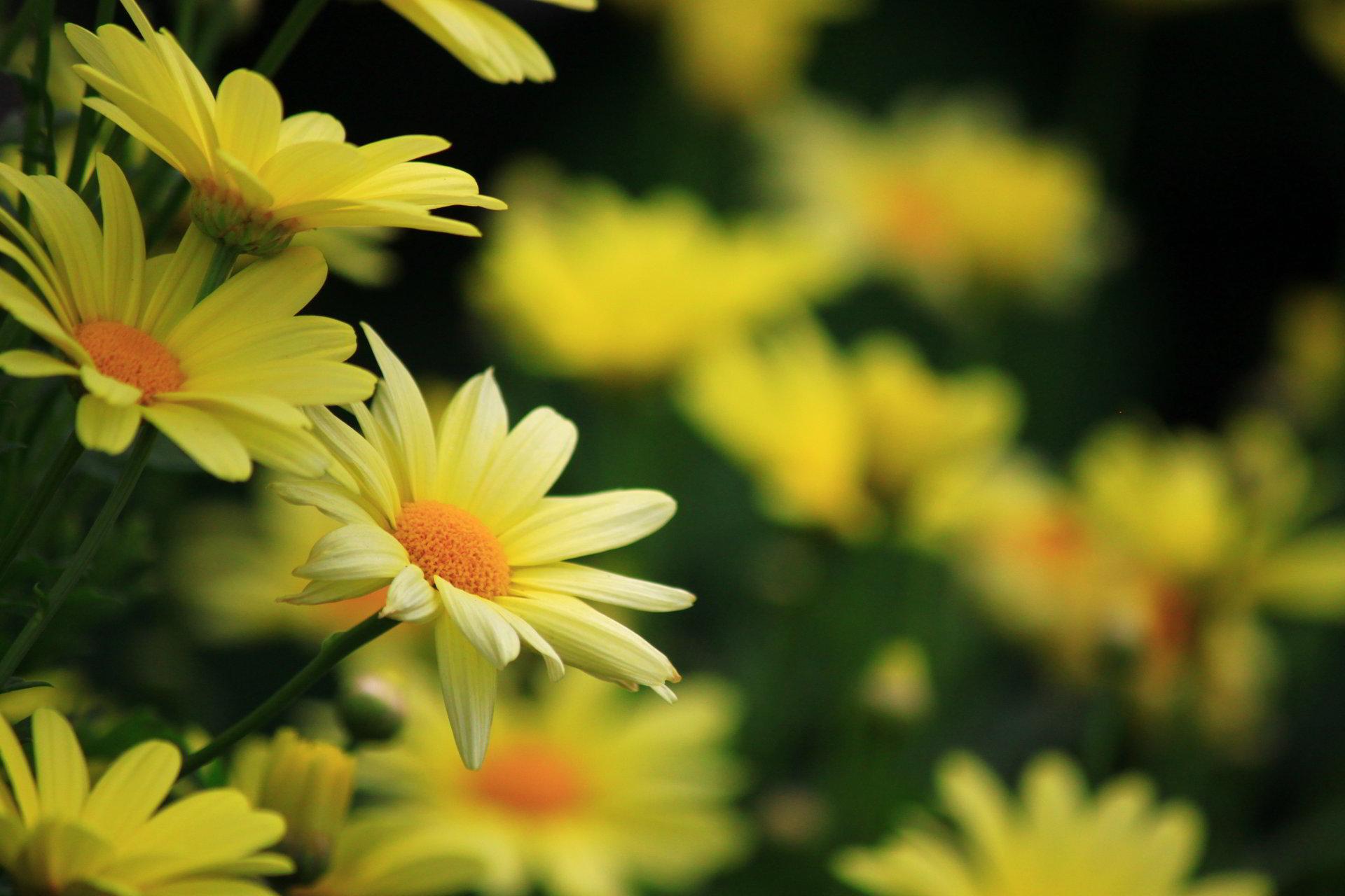 hinh anh hoa cuc dep 21