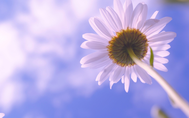 hinh anh hoa cuc dep 22