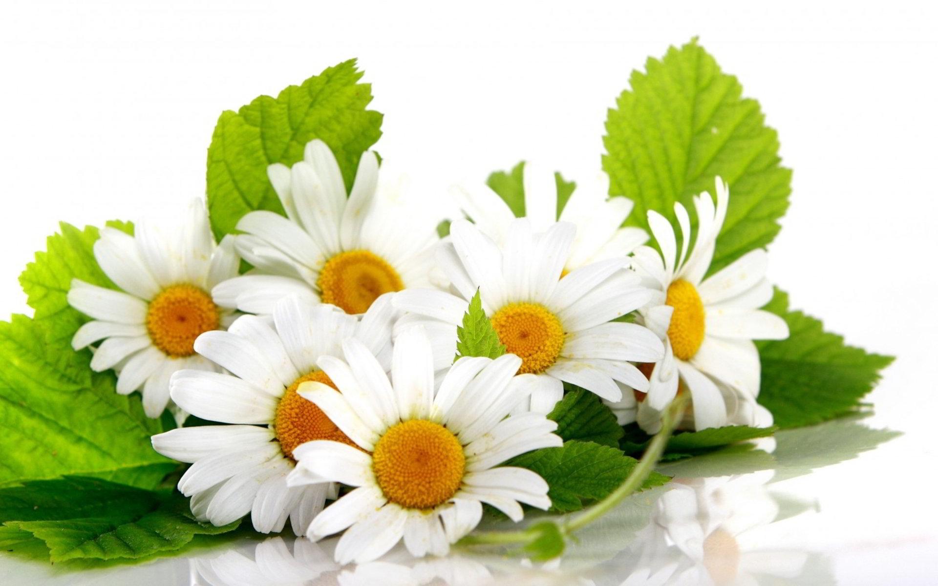 hinh anh hoa cuc dep 23
