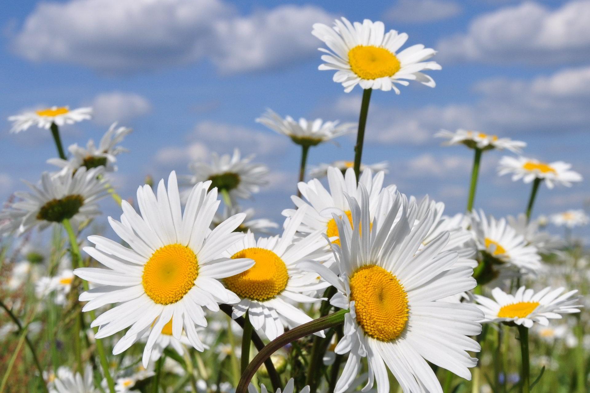 hinh anh hoa cuc dep 24