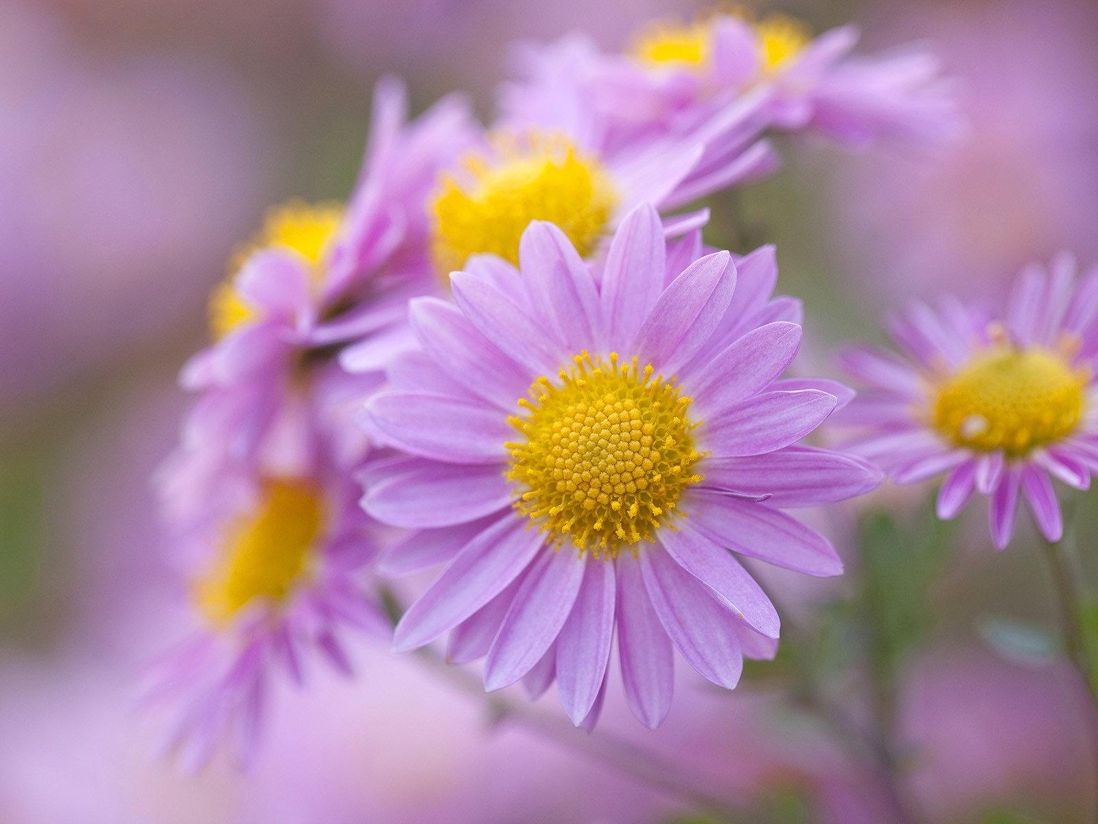 hinh anh hoa cuc dep 26