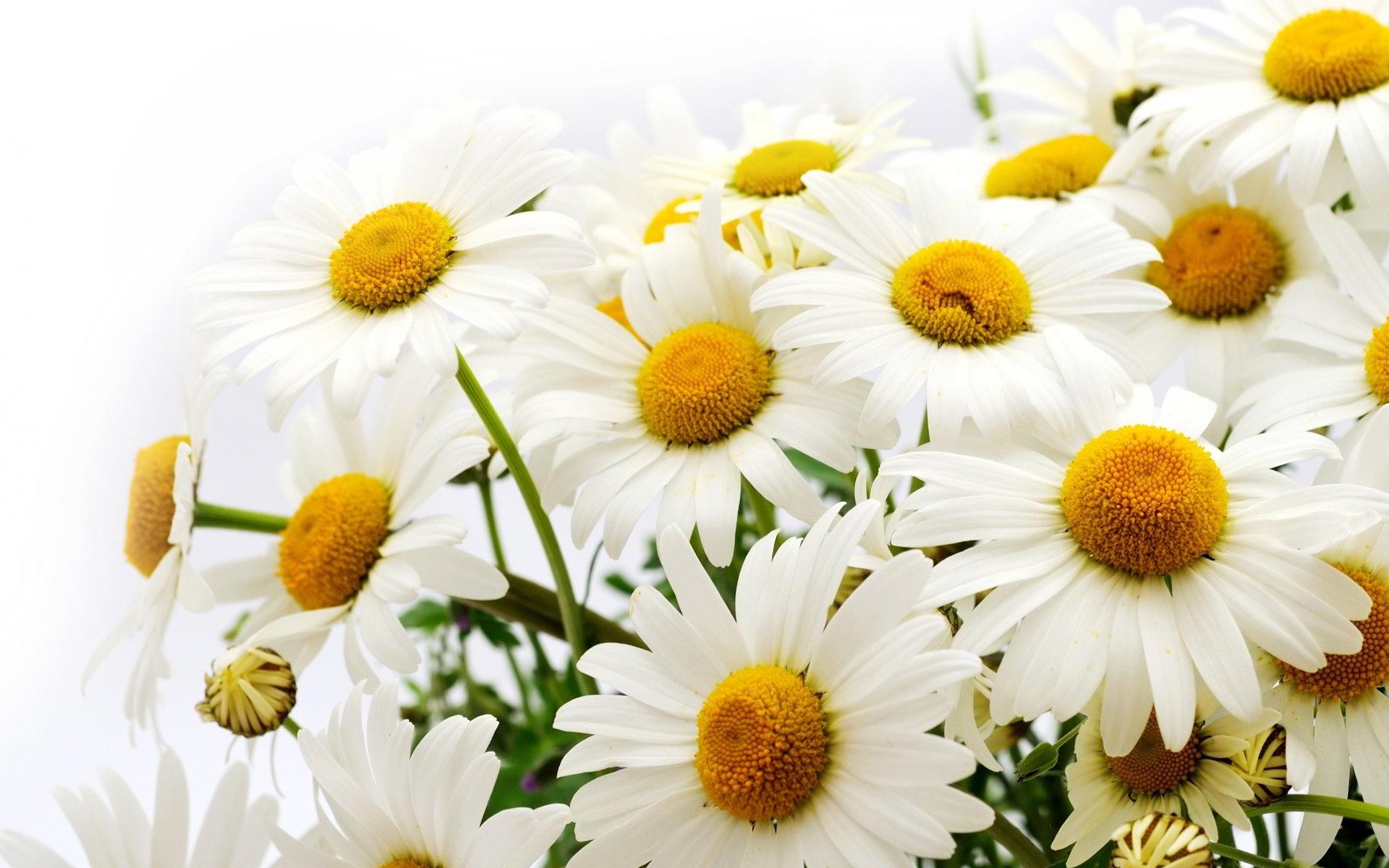 hinh anh hoa cuc dep 27