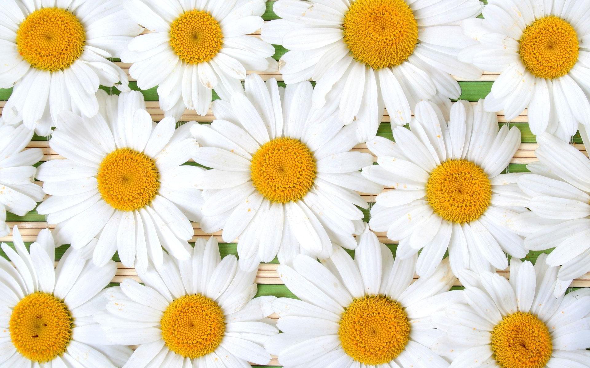 hinh anh hoa cuc dep 28