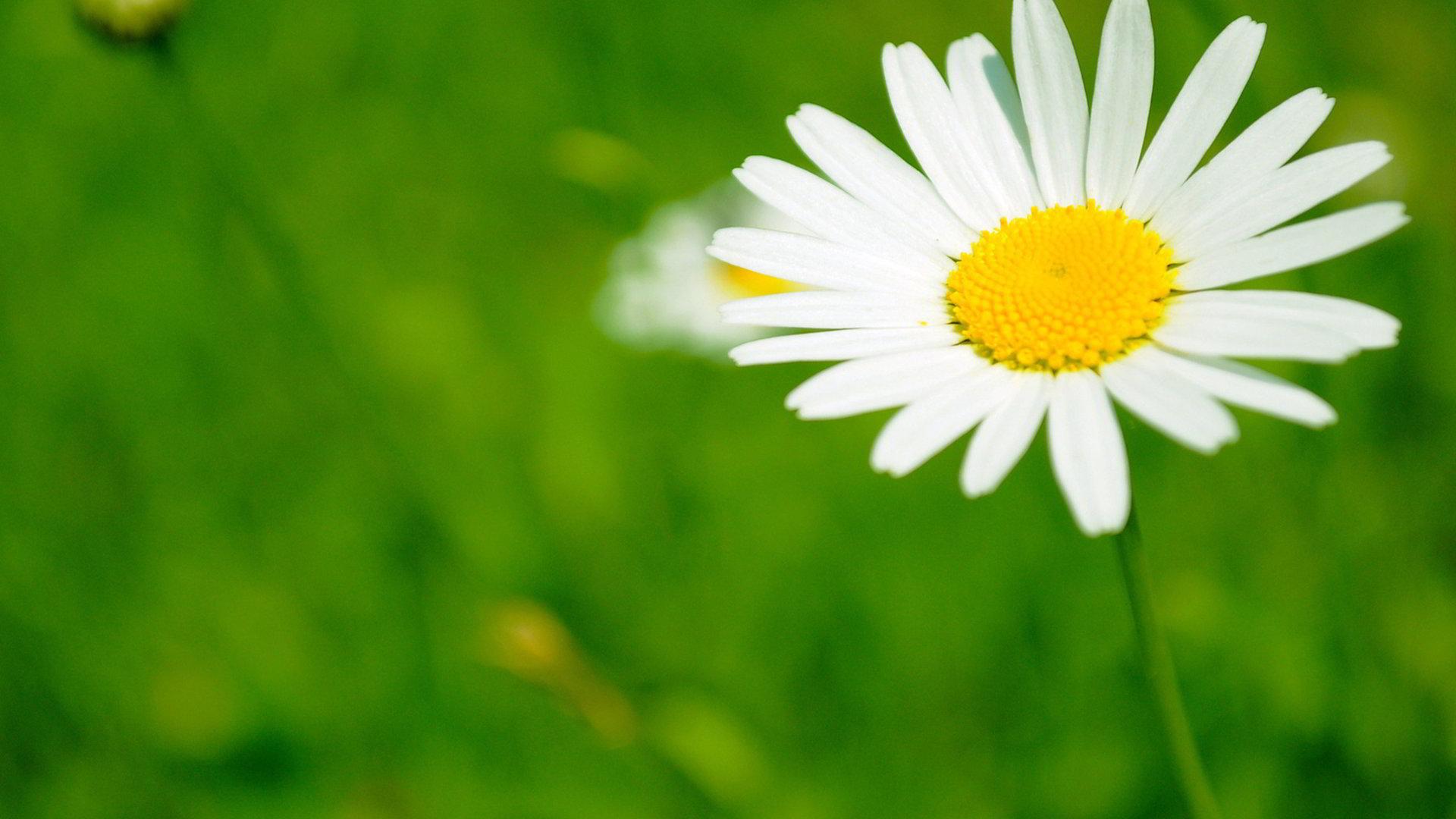 hinh anh hoa cuc dep 29