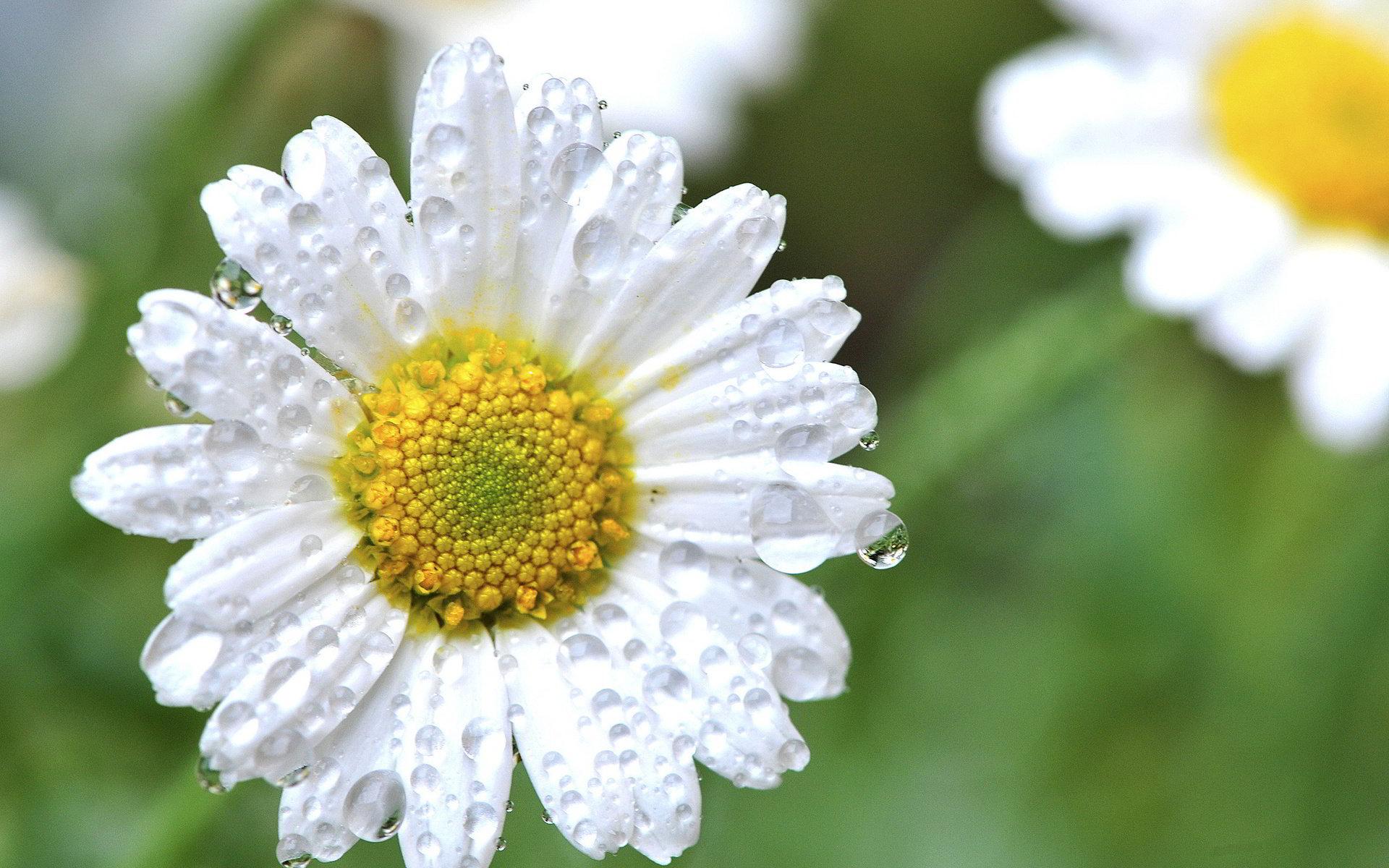hinh anh hoa cuc dep 3