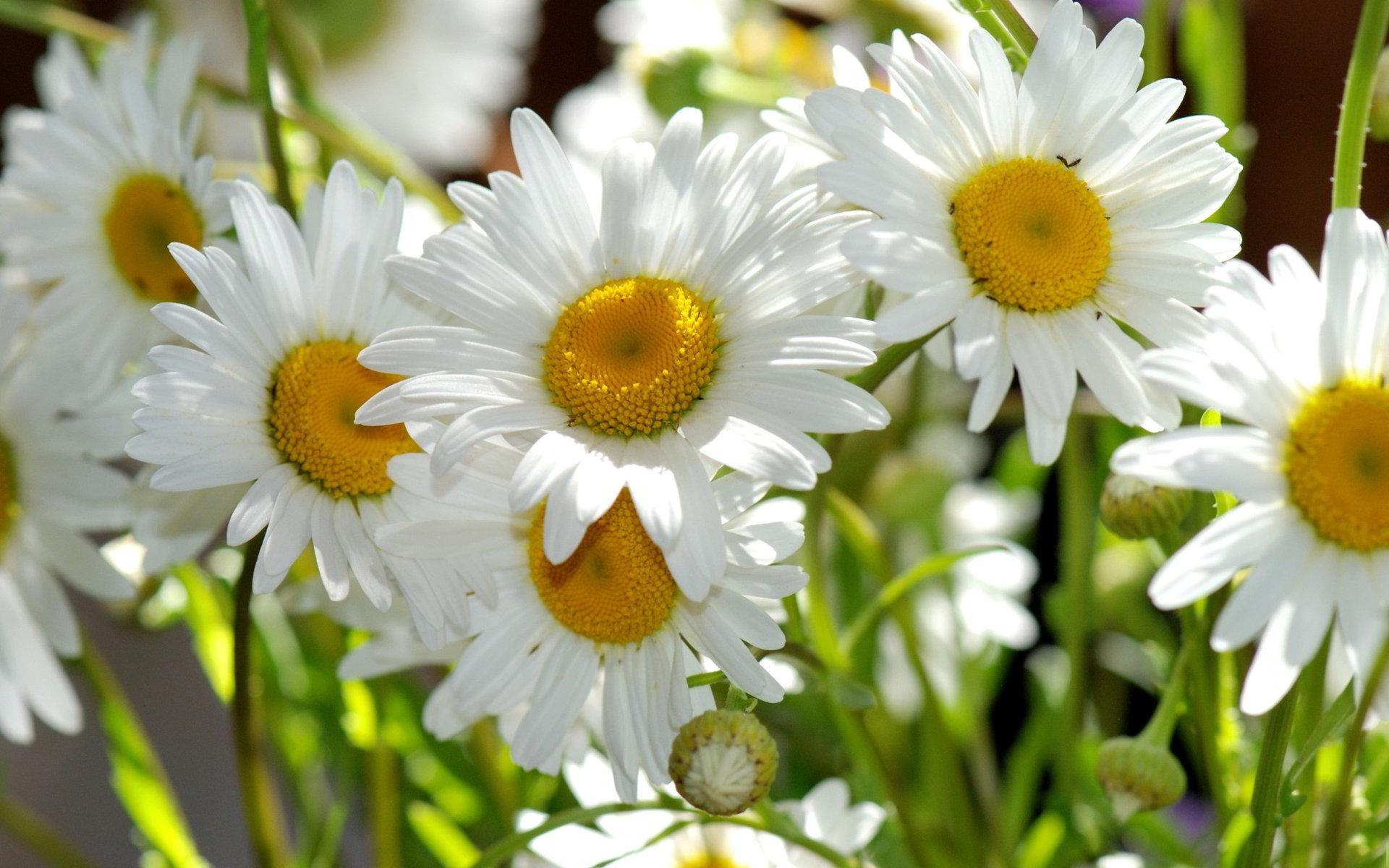 hinh anh hoa cuc dep 31