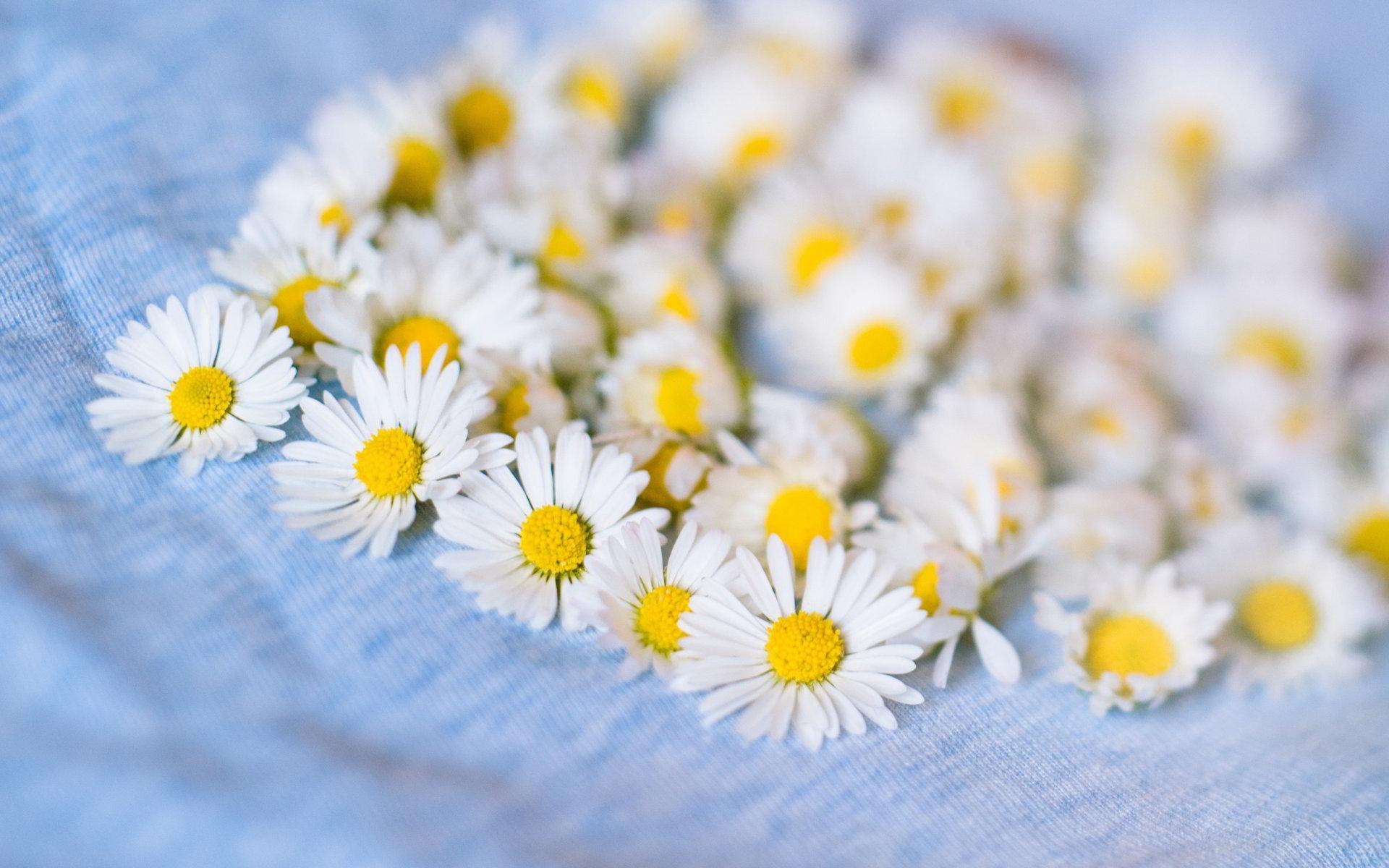 hinh anh hoa cuc dep 33