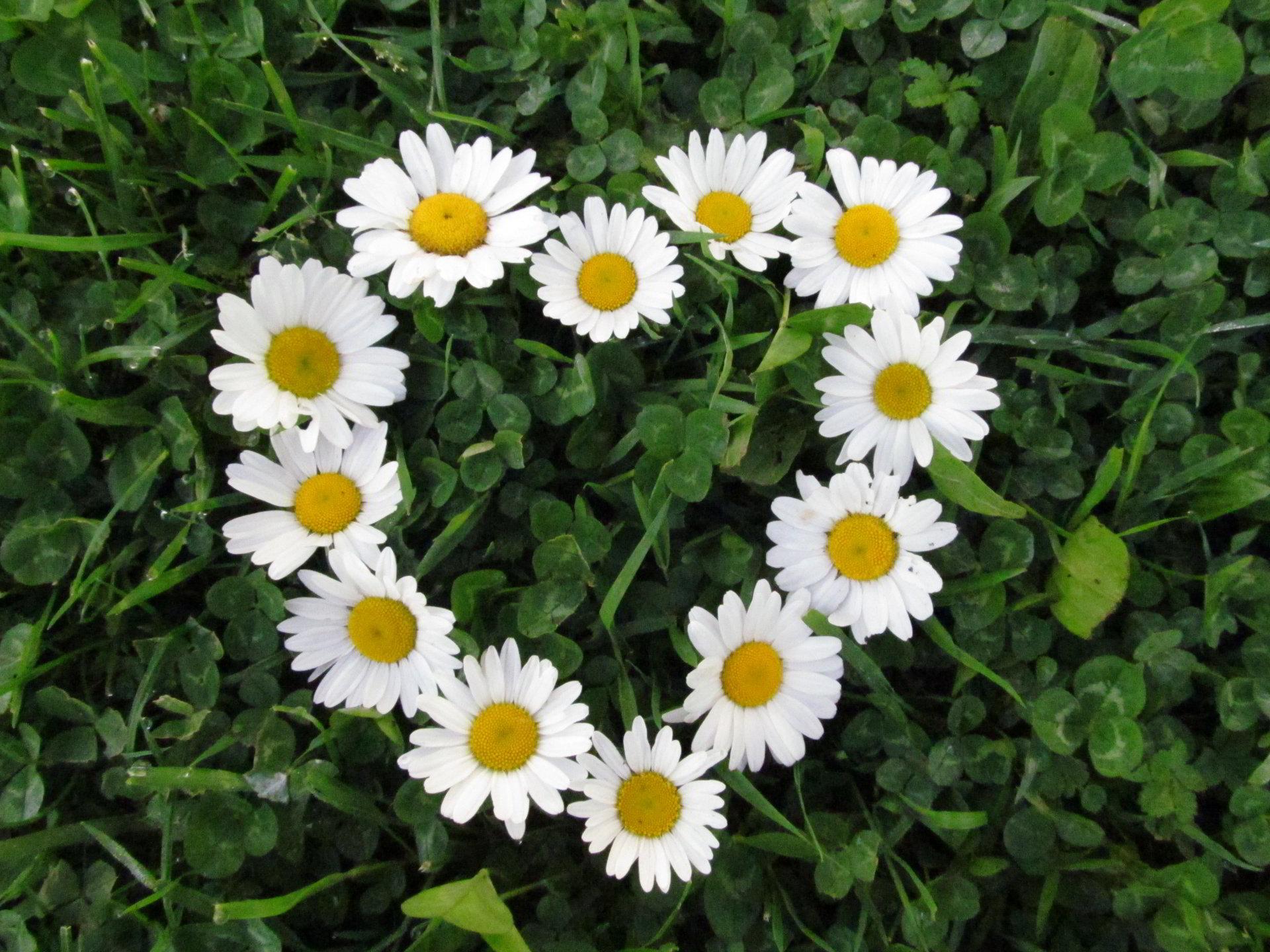 hinh anh hoa cuc dep 34