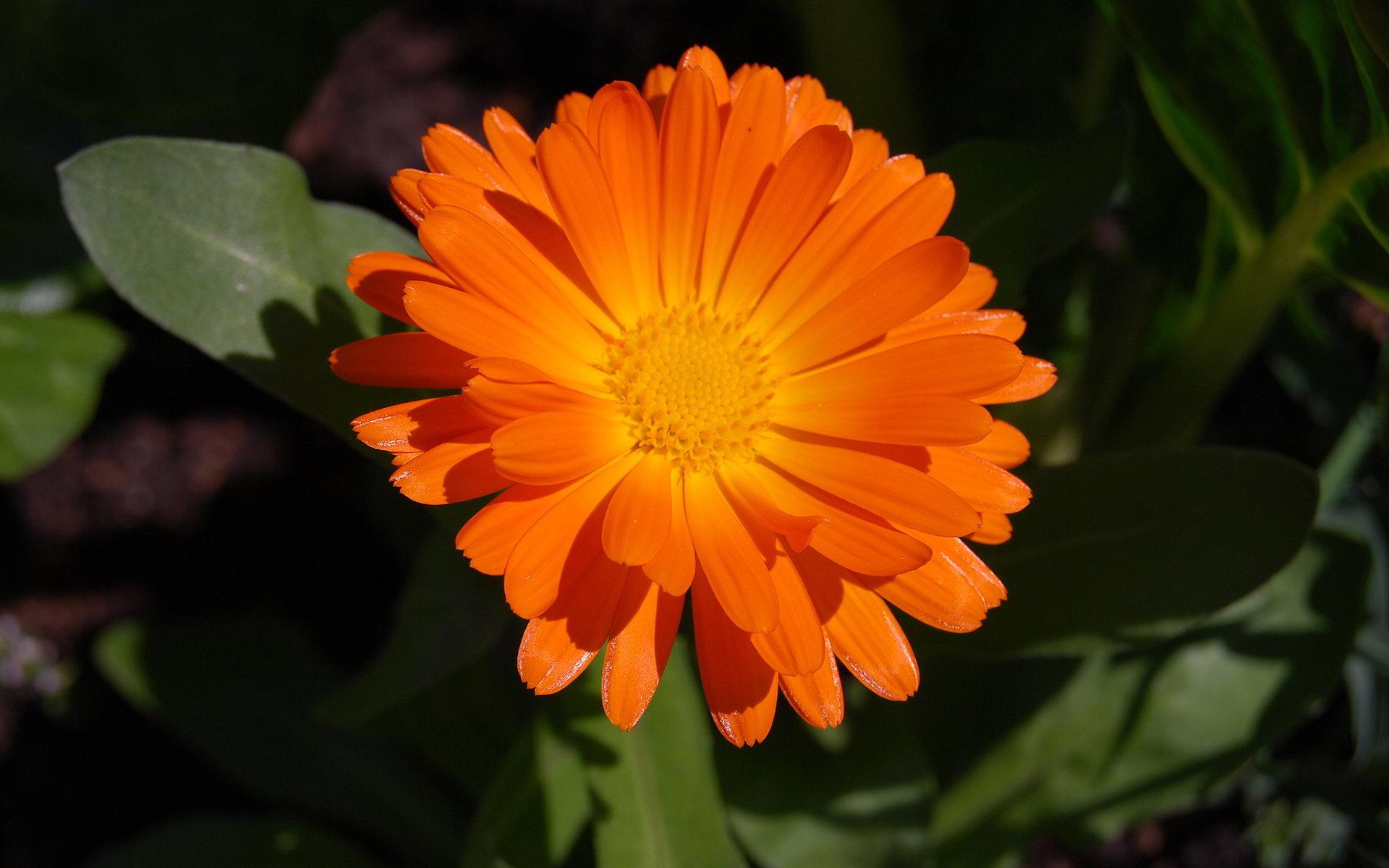 hinh anh hoa cuc dep 36