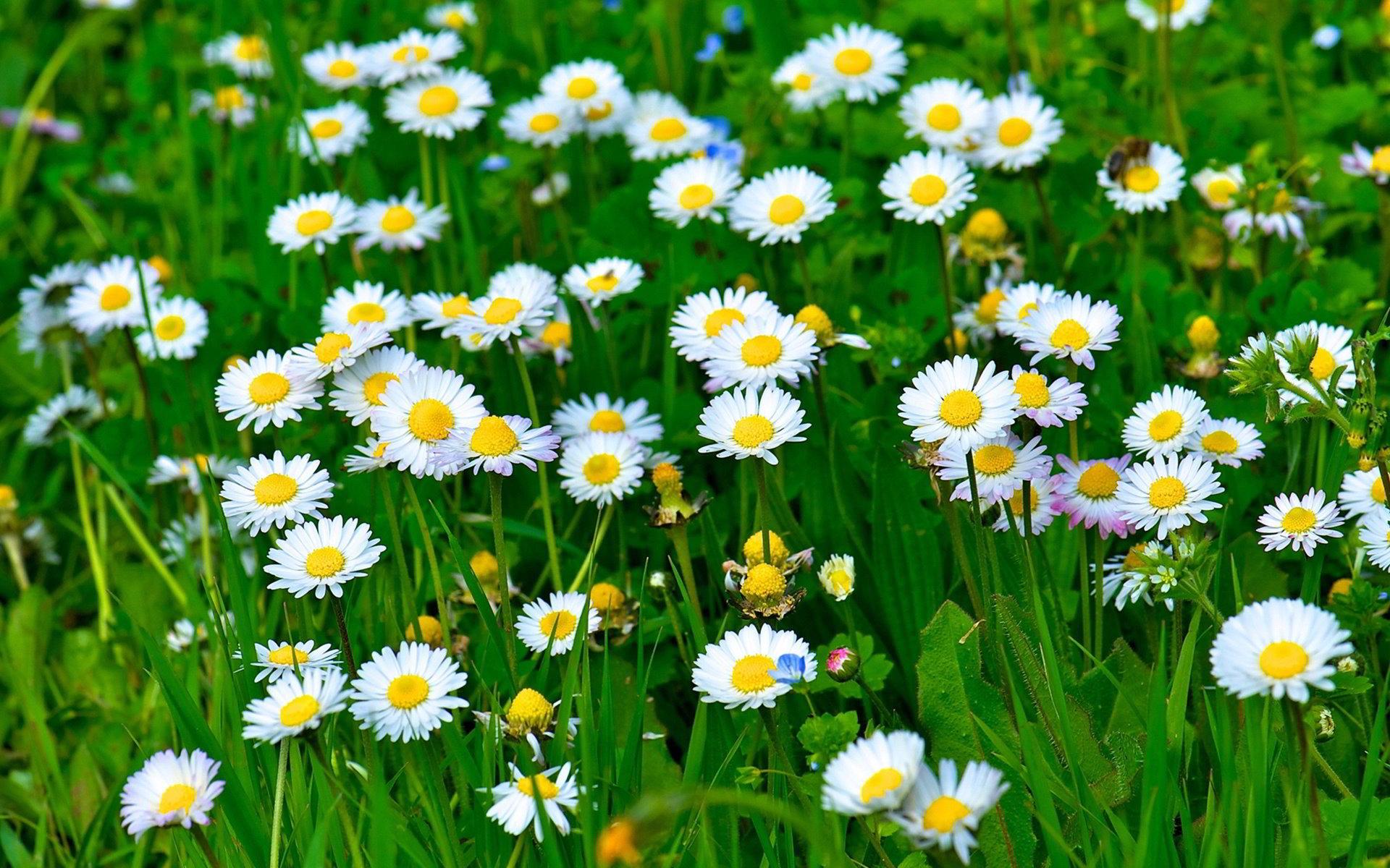 hinh anh hoa cuc dep 37