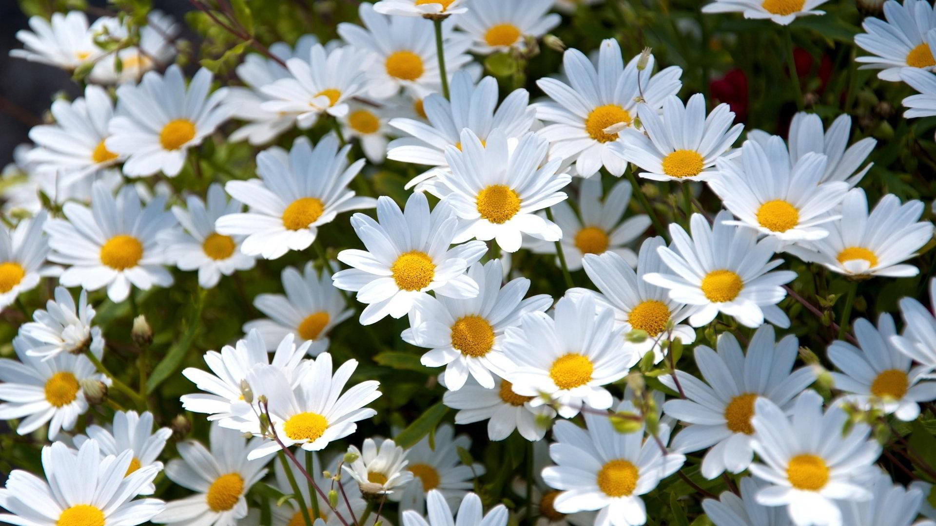 hinh anh hoa cuc dep 38
