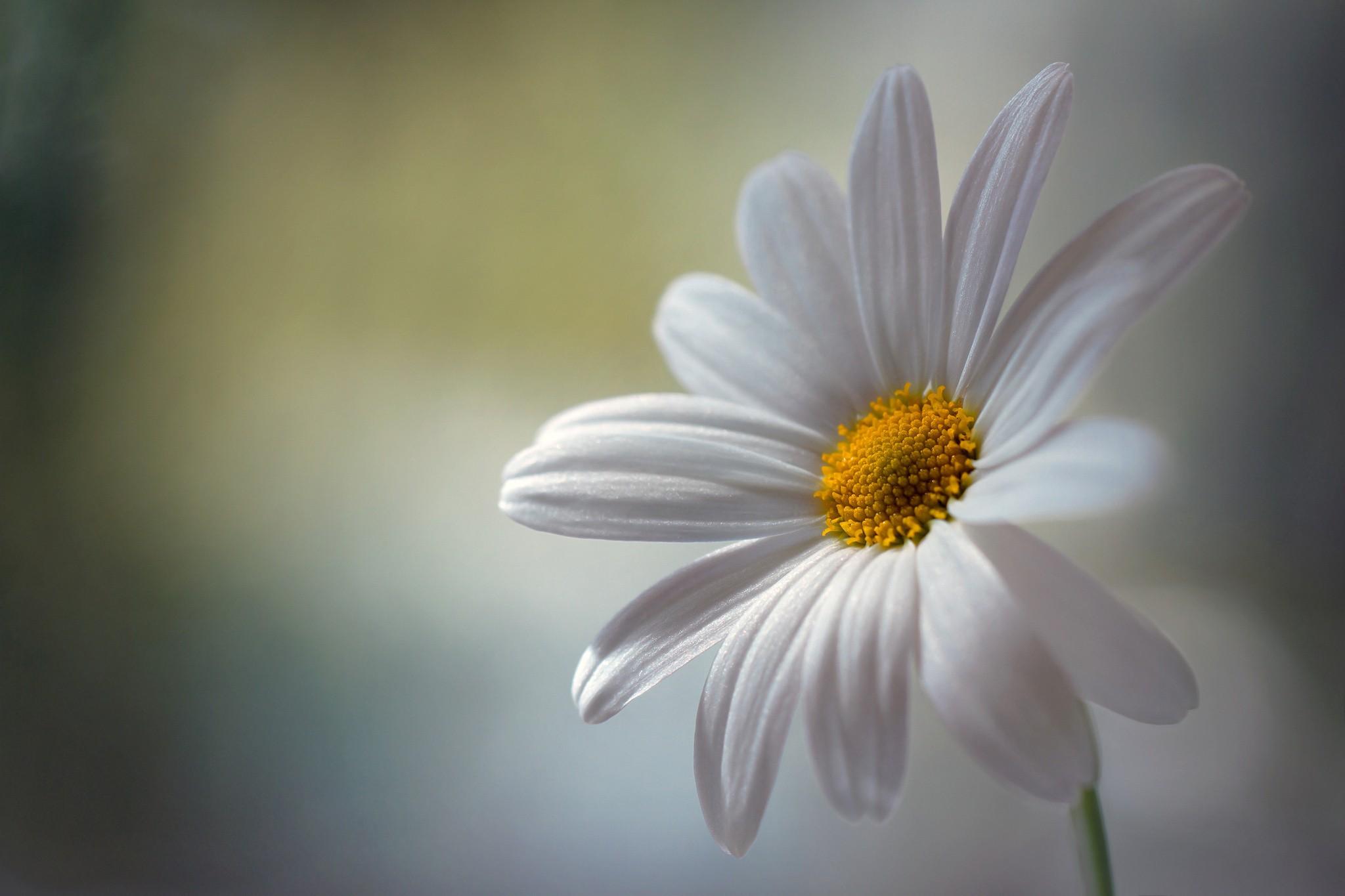 hinh anh hoa cuc dep 39