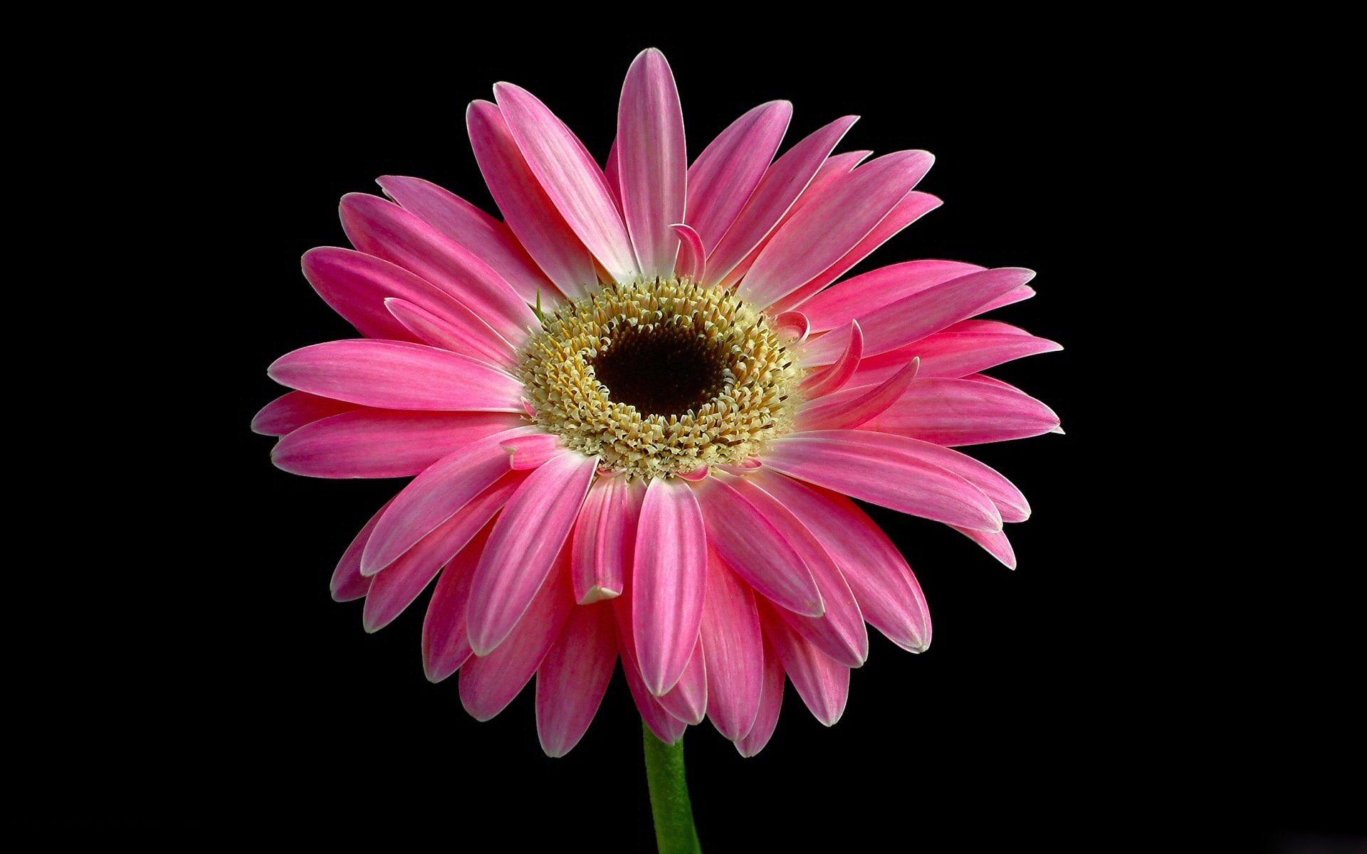 hinh anh hoa cuc dep 40