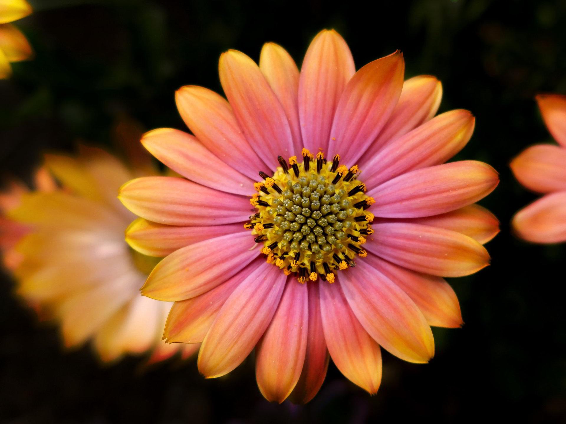 hinh anh hoa cuc dep 41