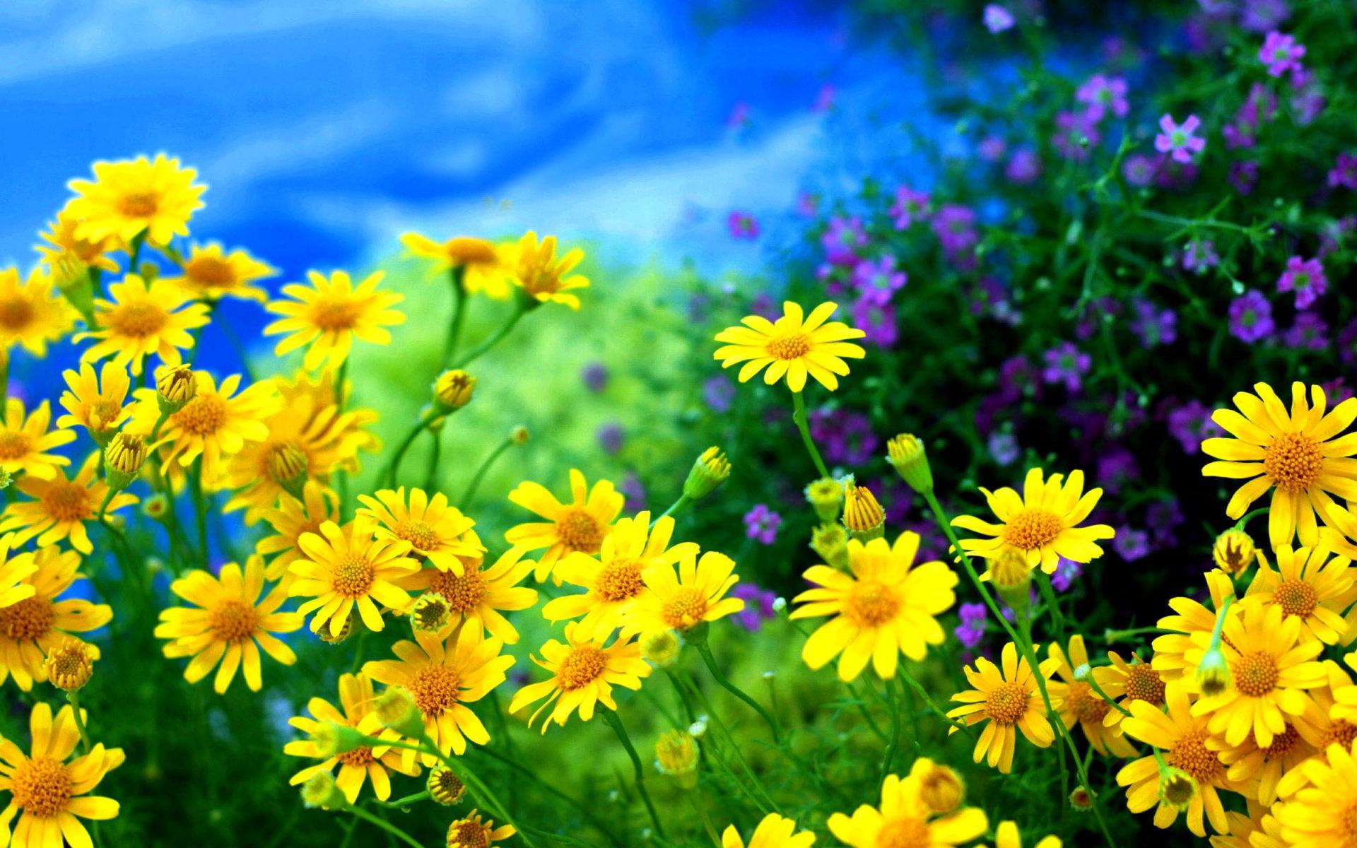 hinh anh hoa cuc dep 42