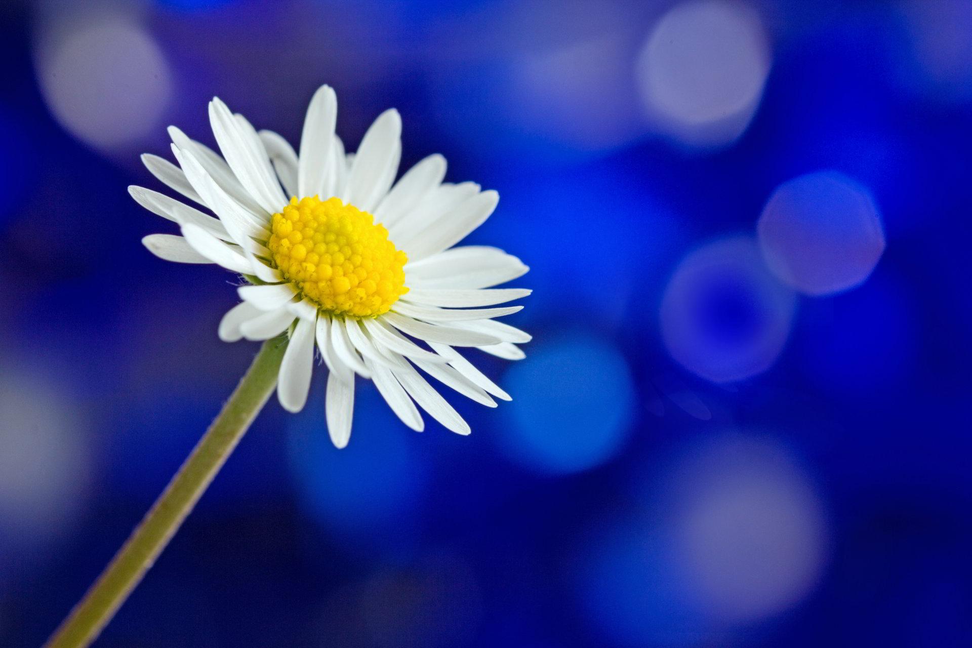 hinh anh hoa cuc dep 43