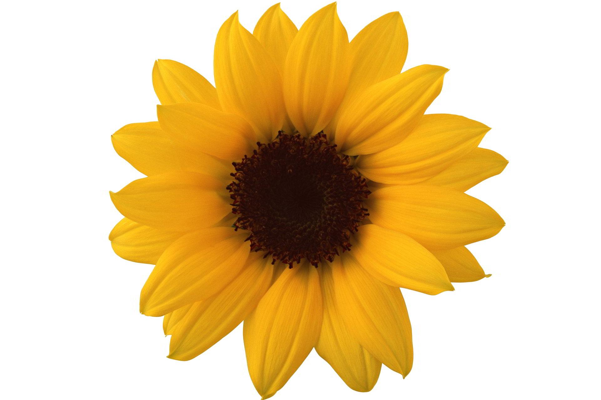hinh anh hoa cuc dep 44