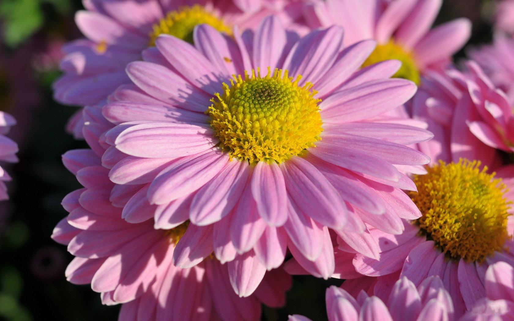 hinh anh hoa cuc dep 46