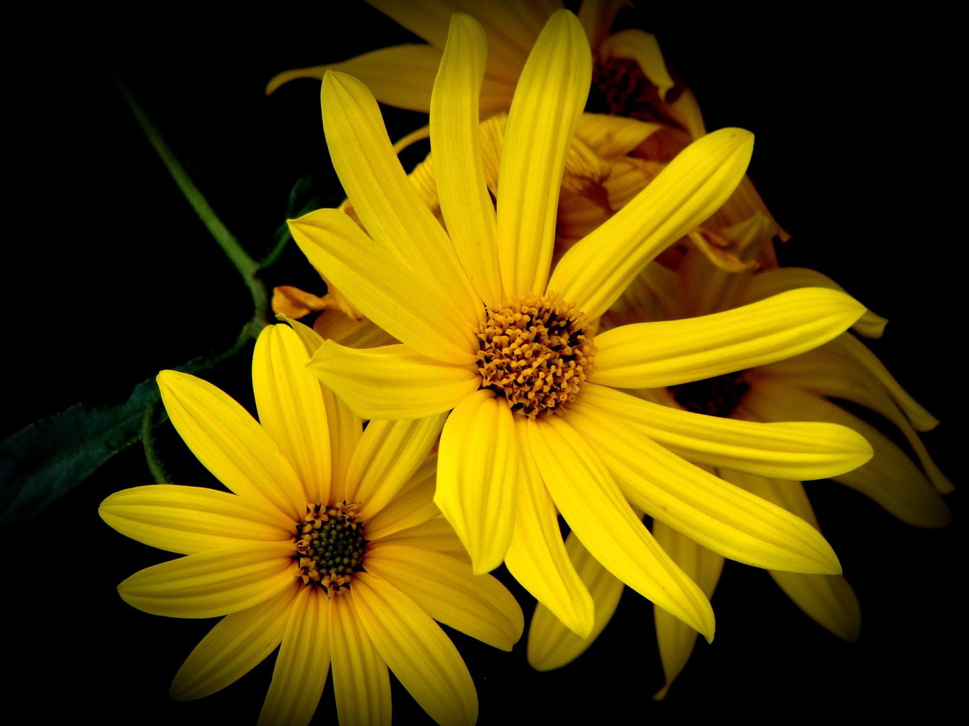 hinh anh hoa cuc dep 48