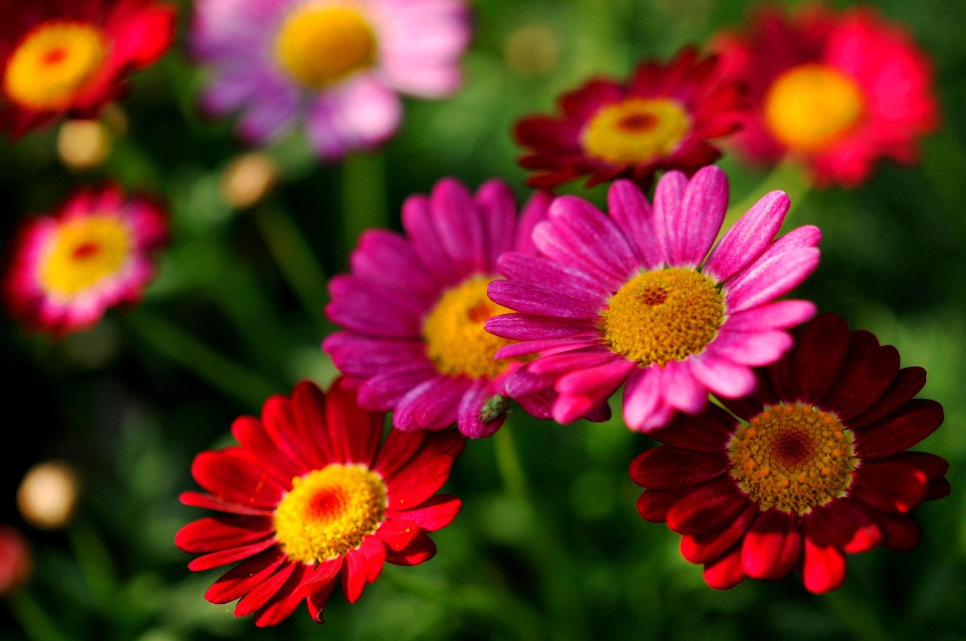 hinh anh hoa cuc dep 49