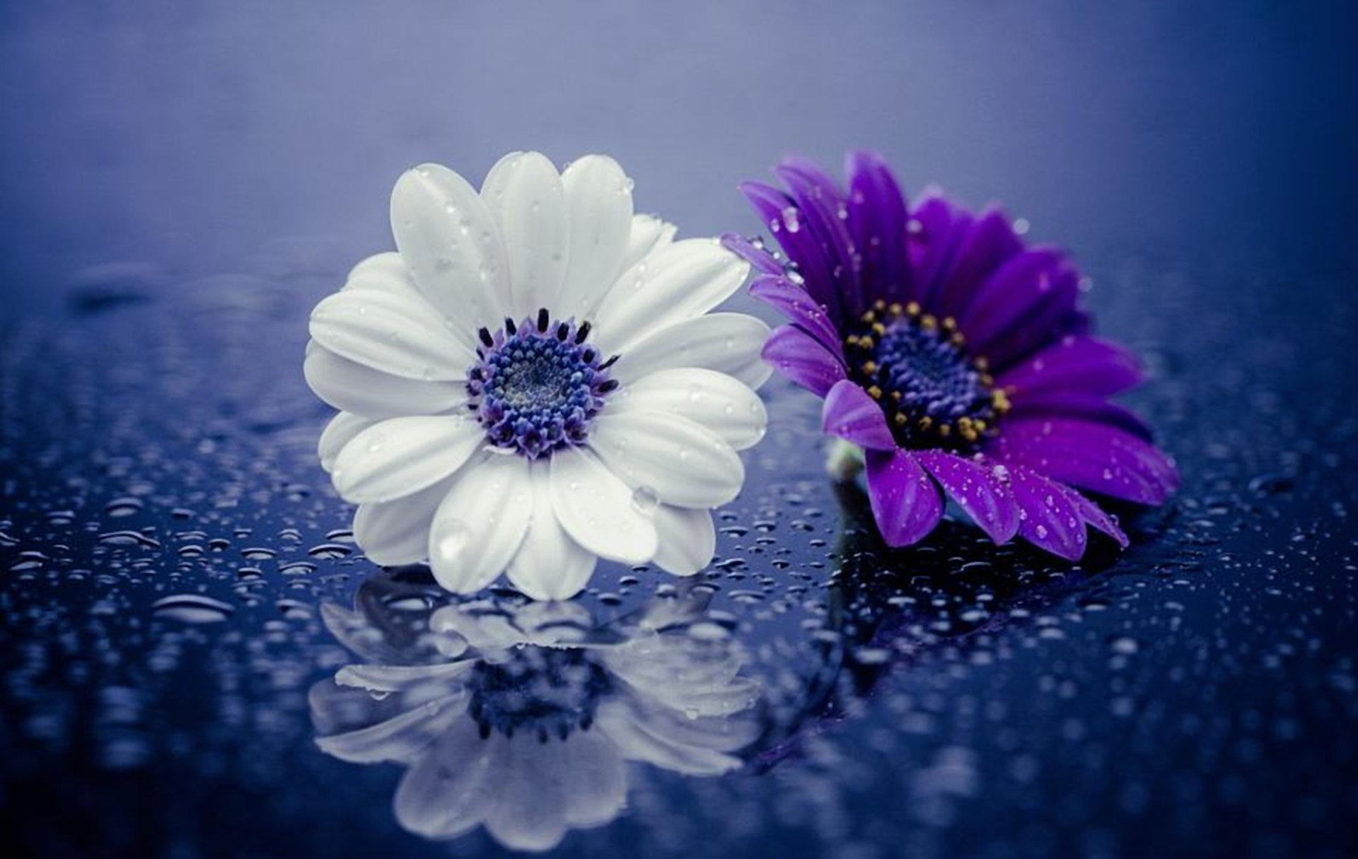 hinh anh hoa cuc dep 50