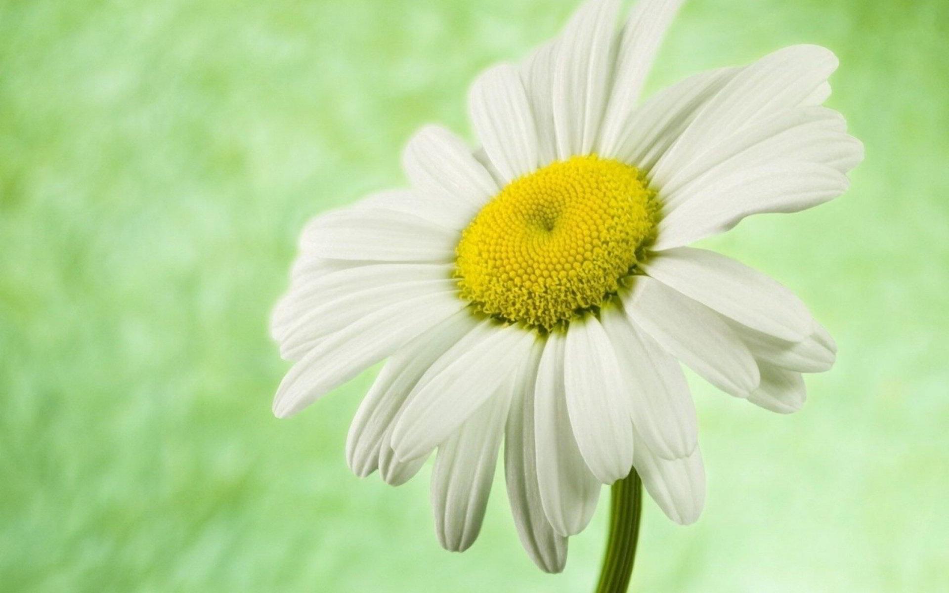 hinh anh hoa cuc dep 51