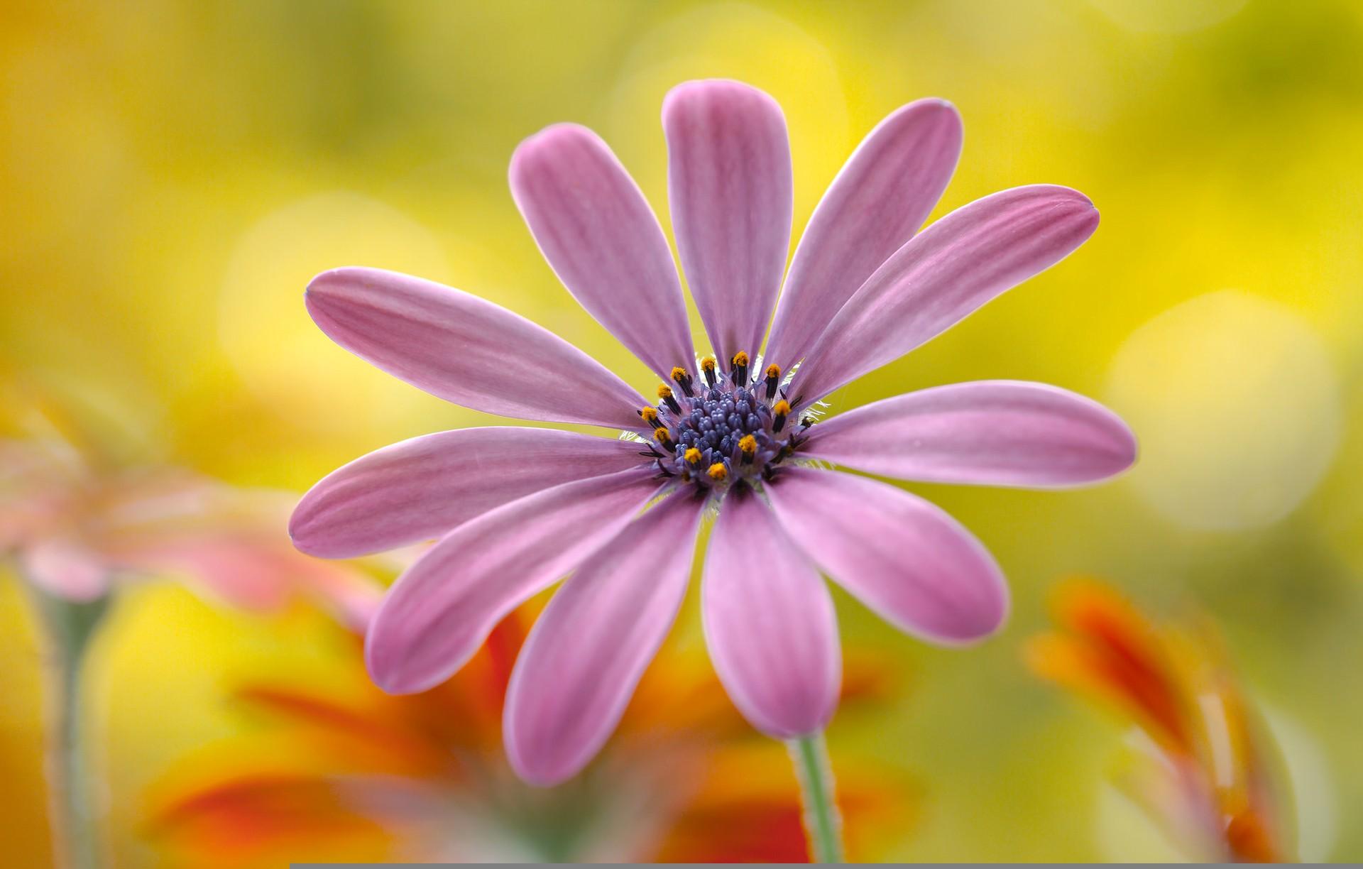hinh anh hoa cuc dep 53
