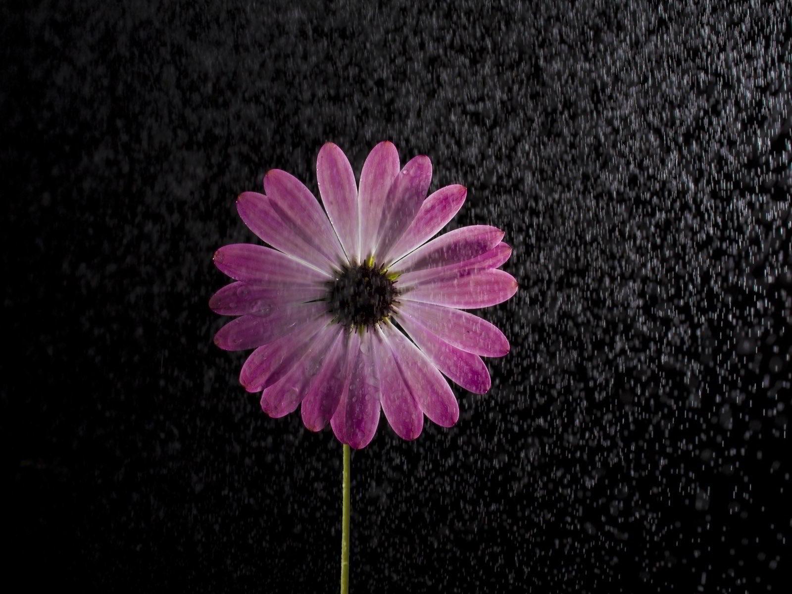 hinh anh hoa cuc dep 55