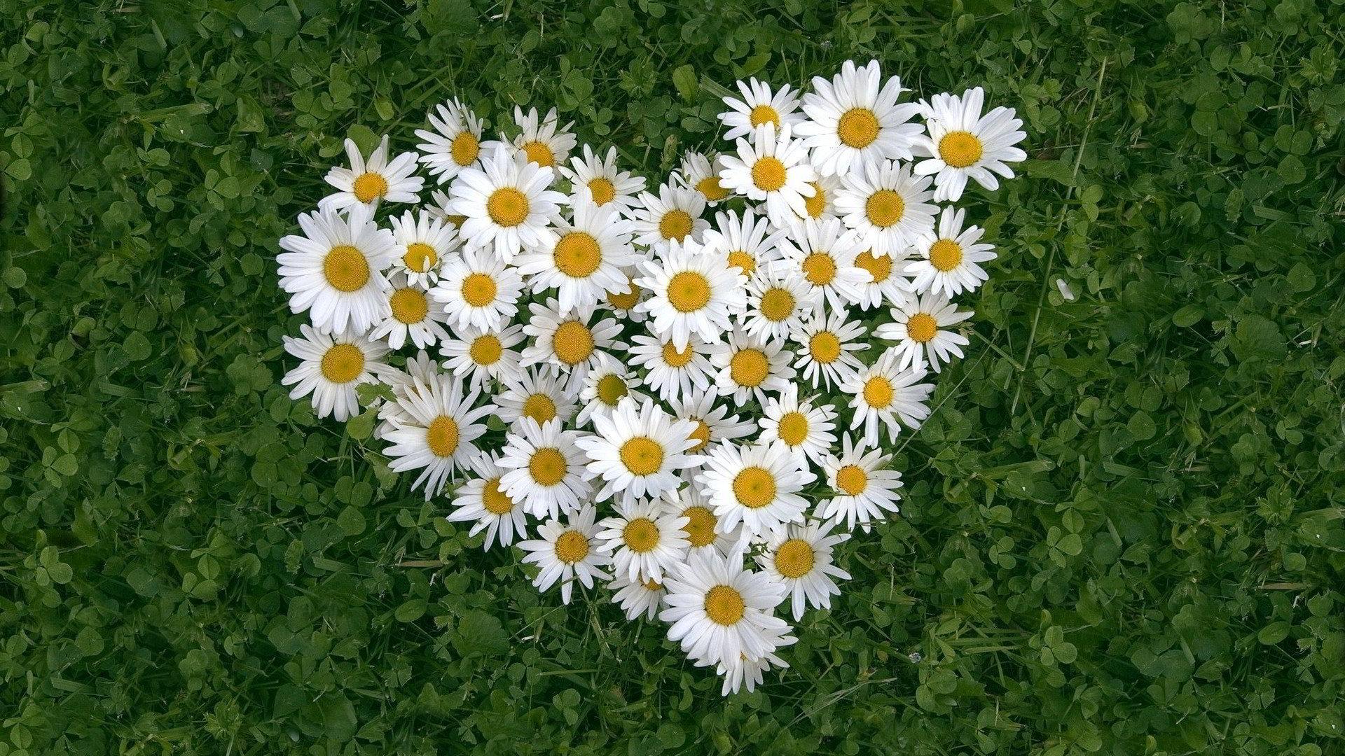hinh anh hoa cuc dep 56
