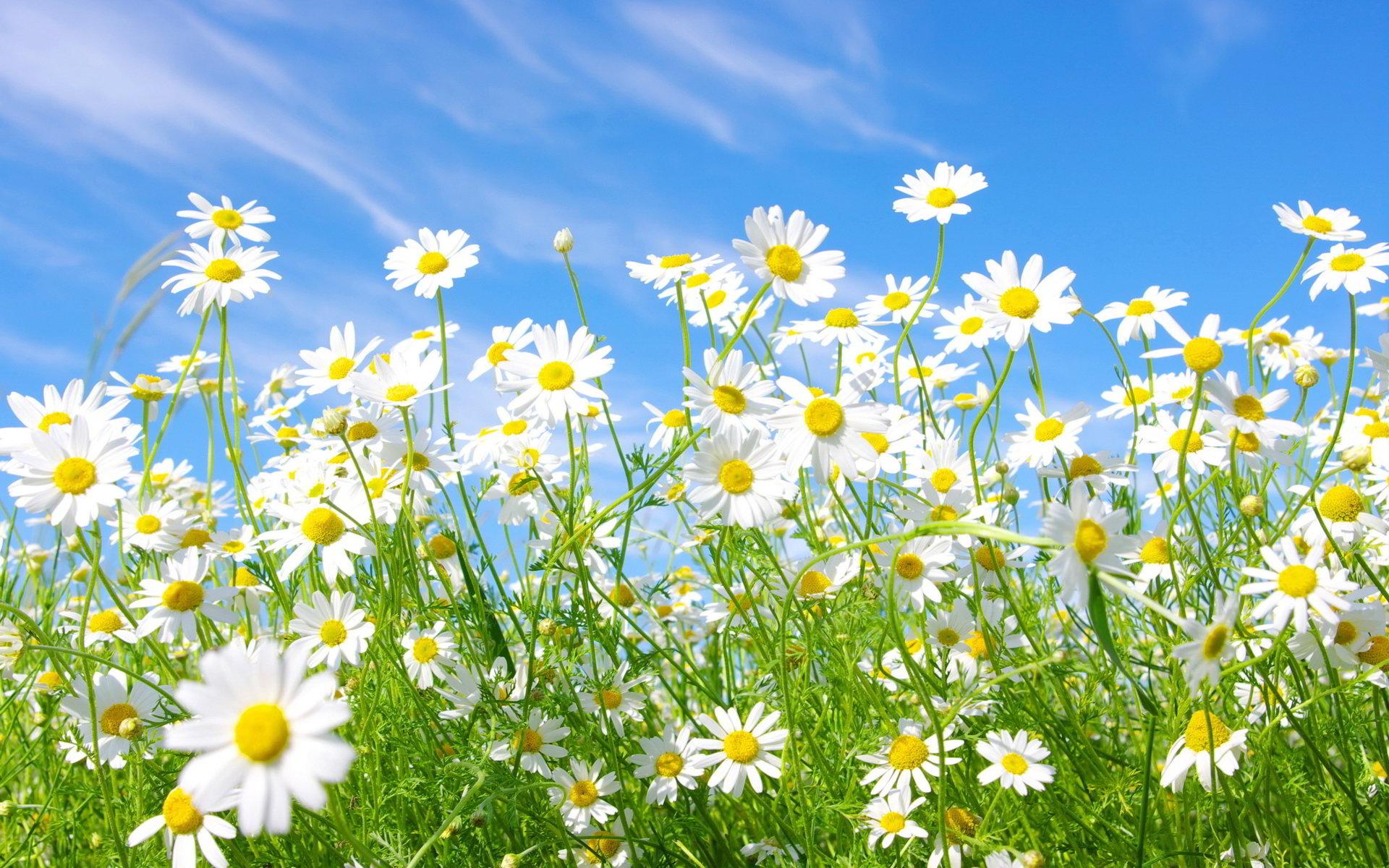 hinh anh hoa cuc dep 6