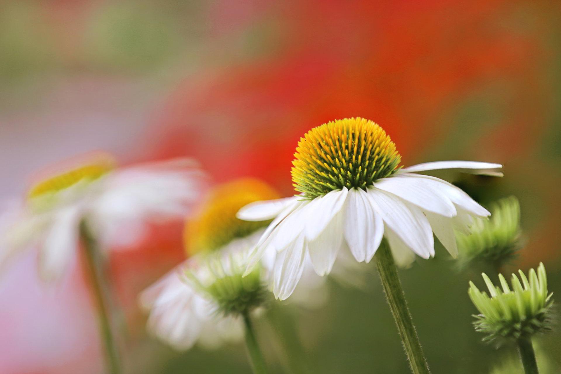 hinh anh hoa cuc dep 62