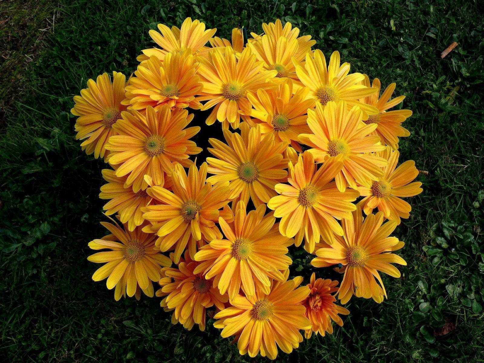 hinh anh hoa cuc dep 63