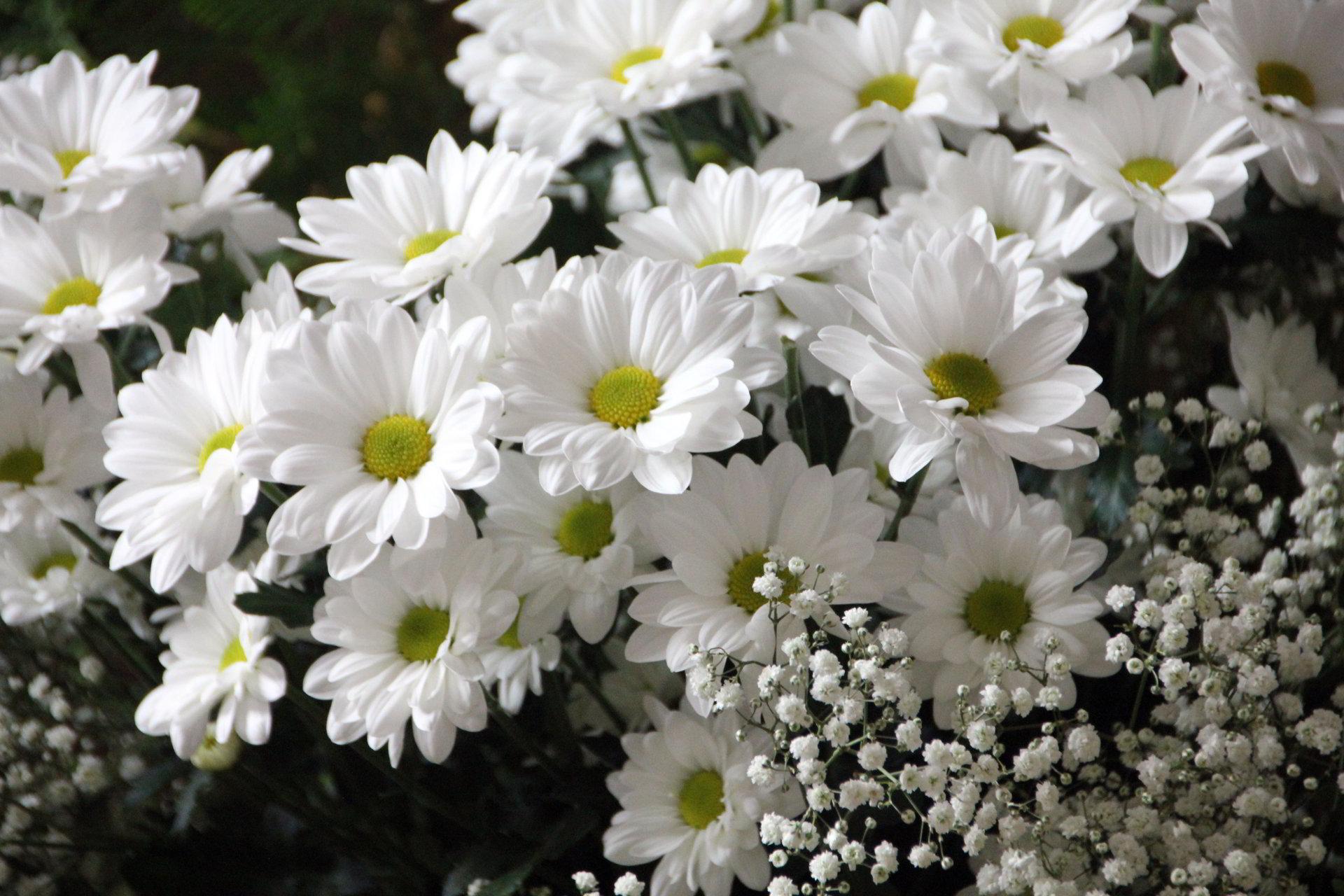 hinh anh hoa cuc dep 64