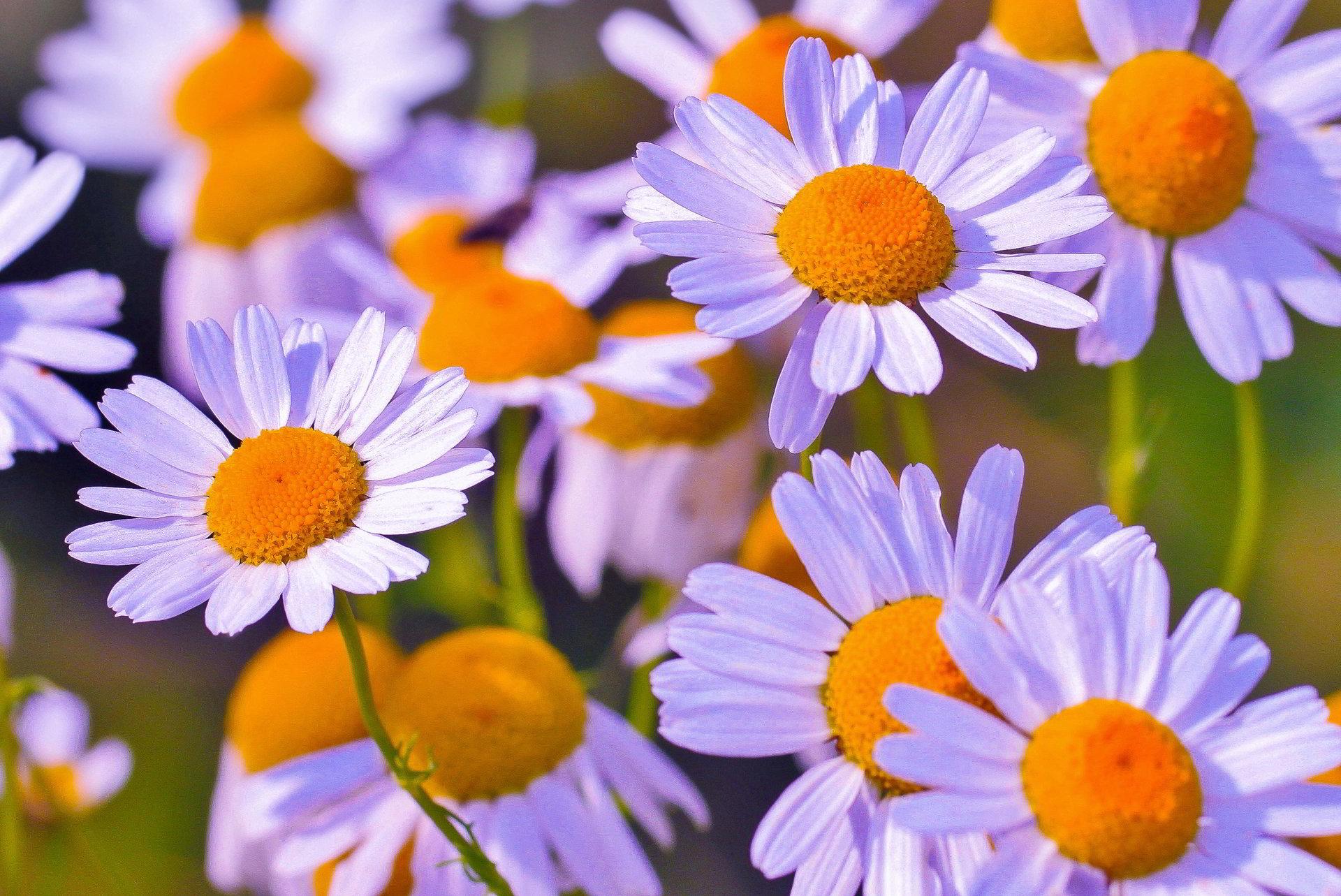 hinh anh hoa cuc dep 65