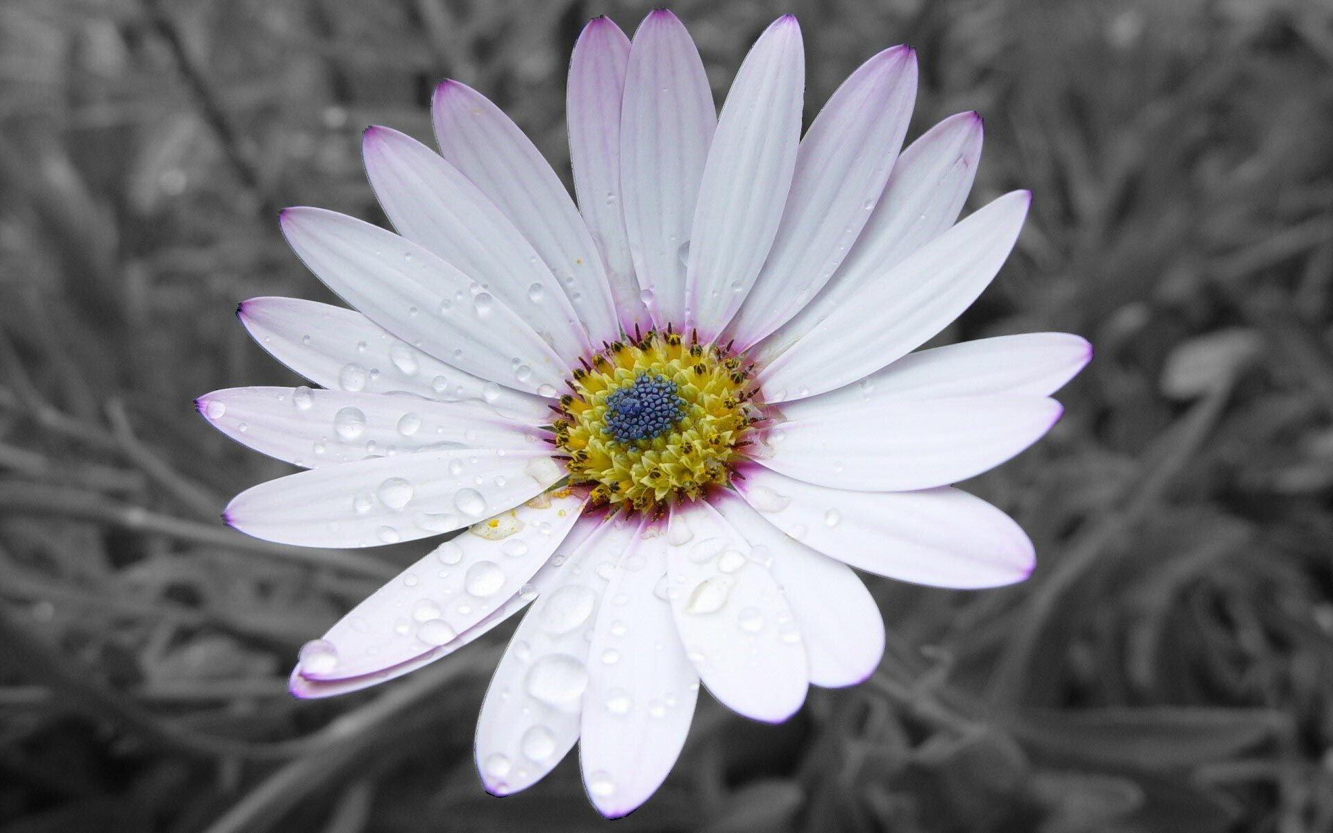 hinh anh hoa cuc dep 66