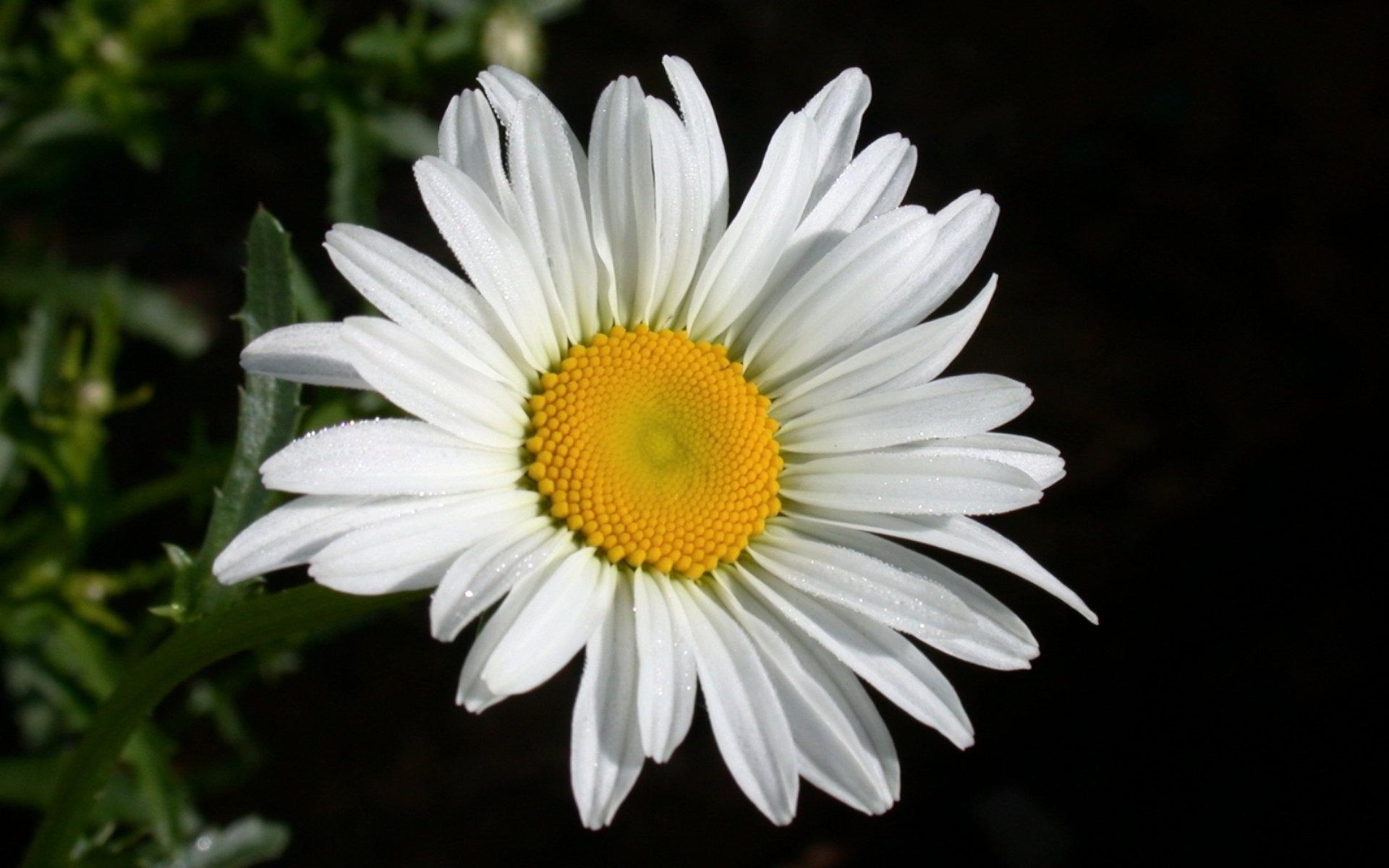 hinh anh hoa cuc dep 67