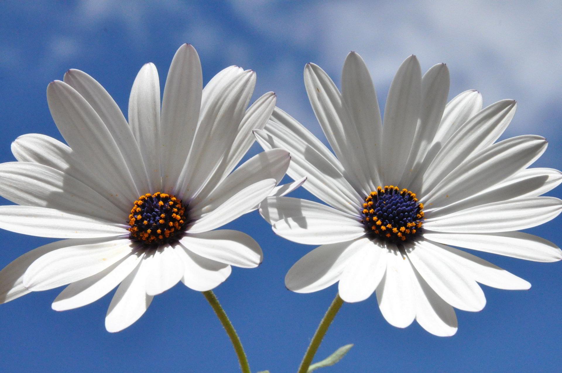 hinh anh hoa cuc dep 68