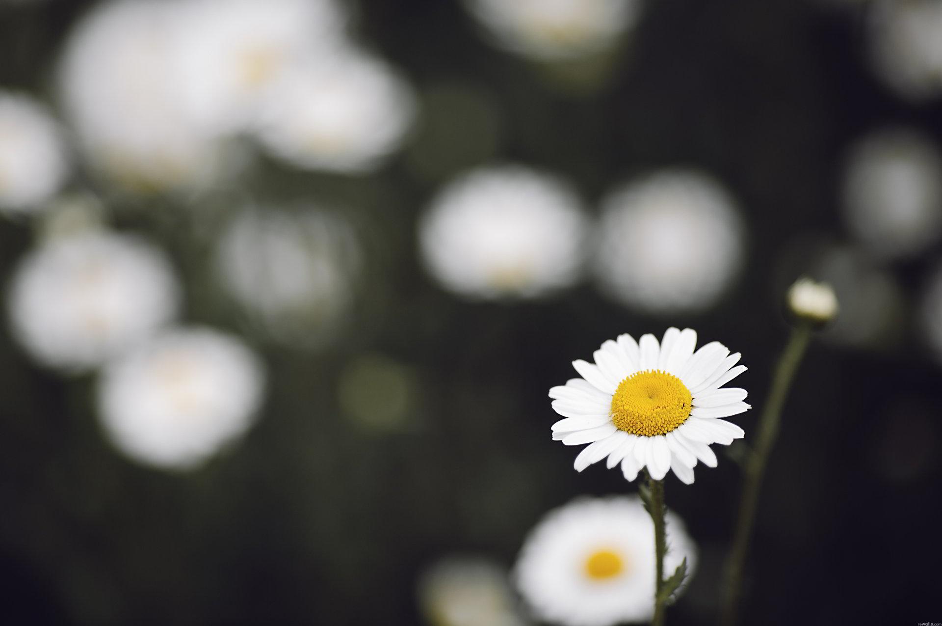 hinh anh hoa cuc dep 7