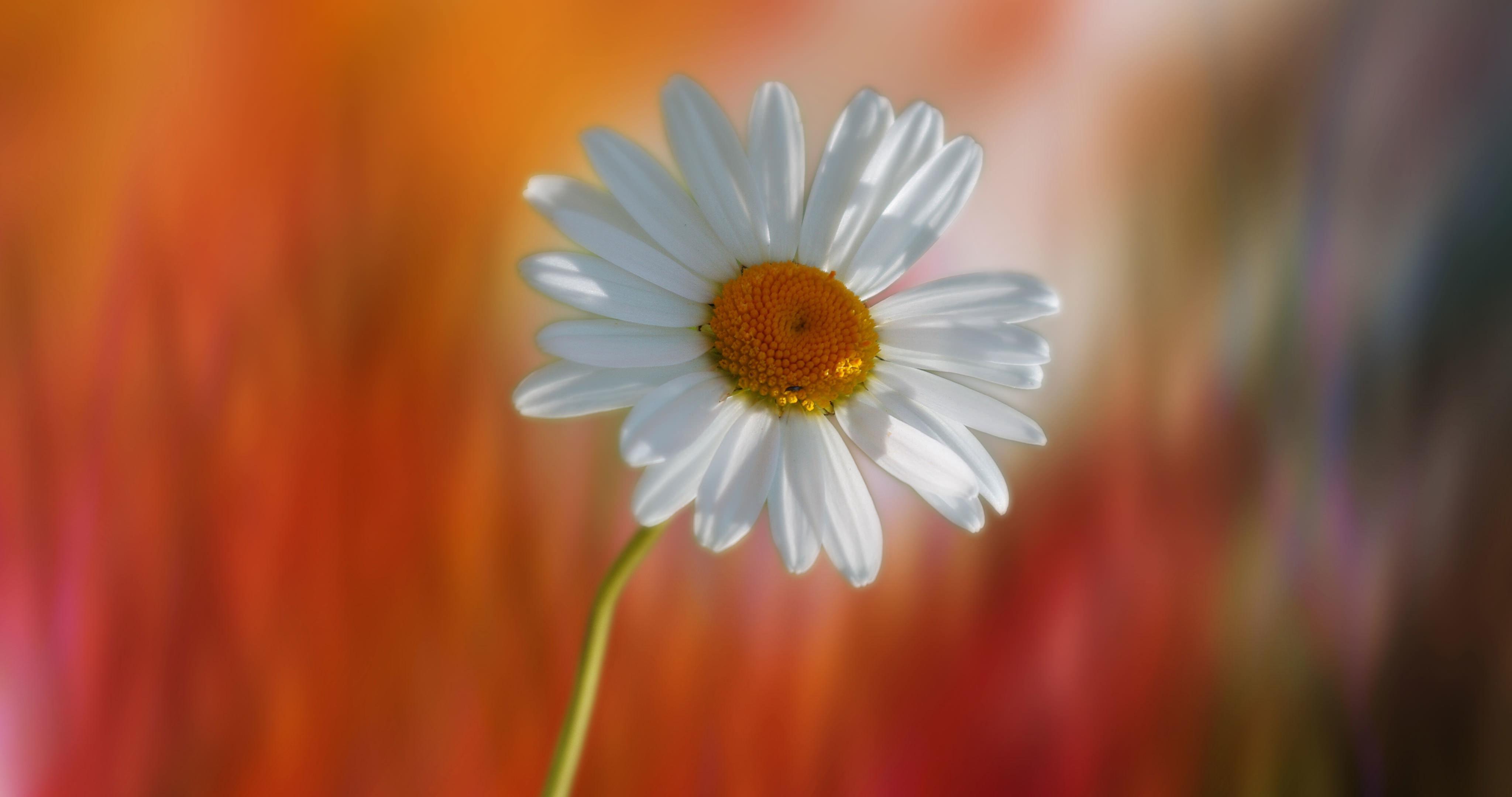 hinh anh hoa cuc dep 72