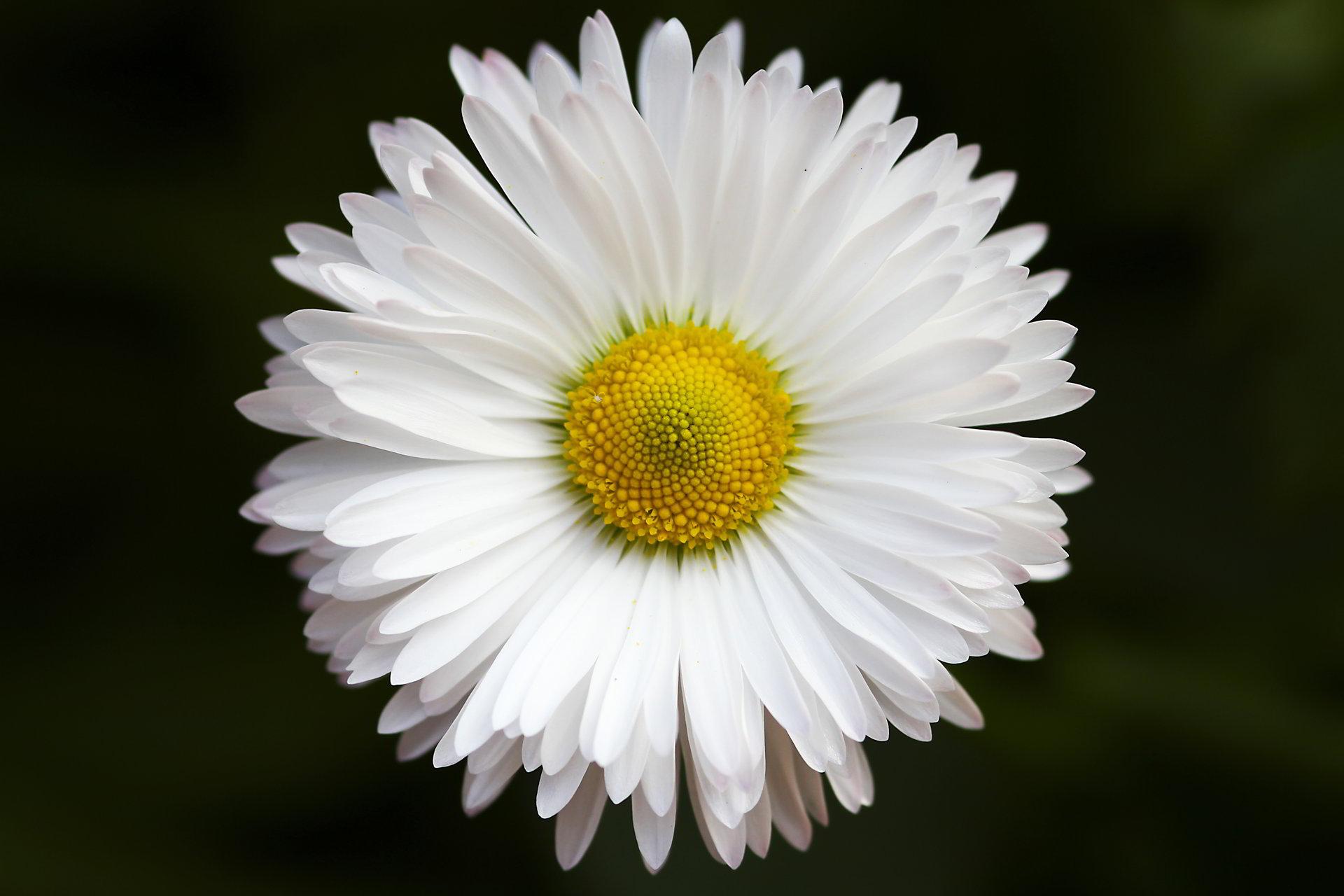 hinh anh hoa cuc dep 73