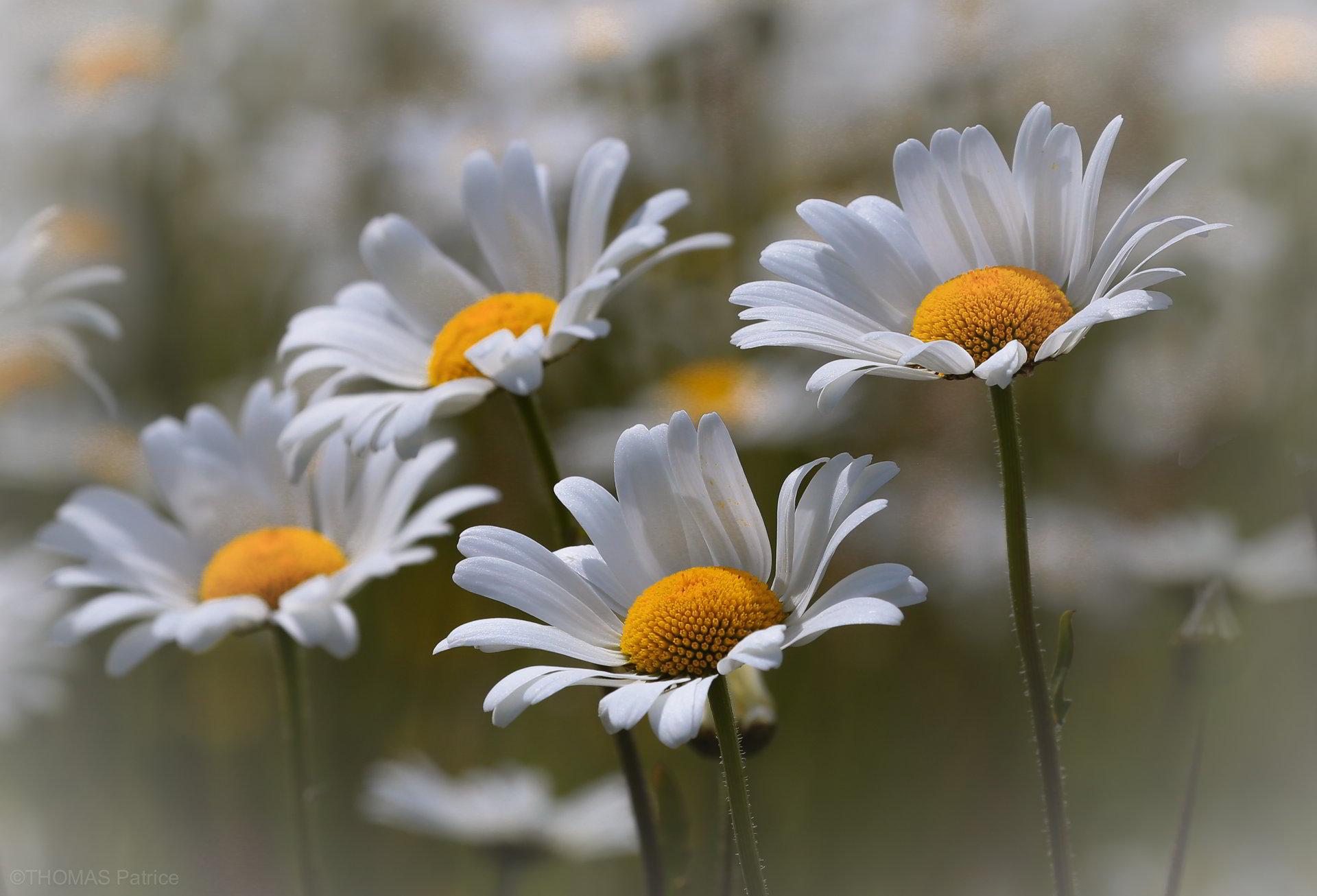hinh anh hoa cuc dep 74
