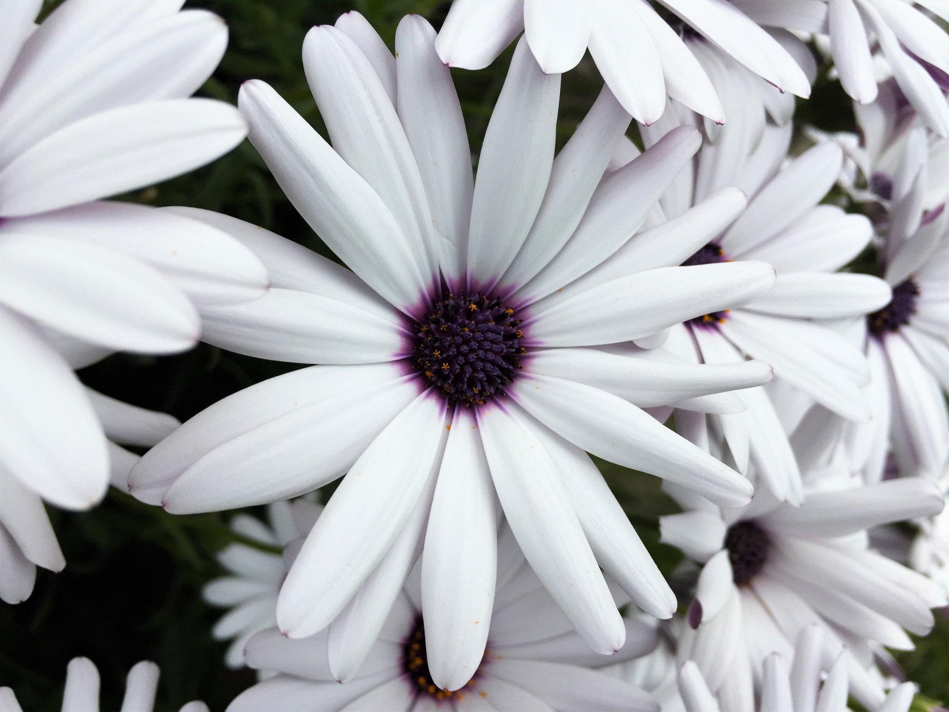 hinh anh hoa cuc dep 76